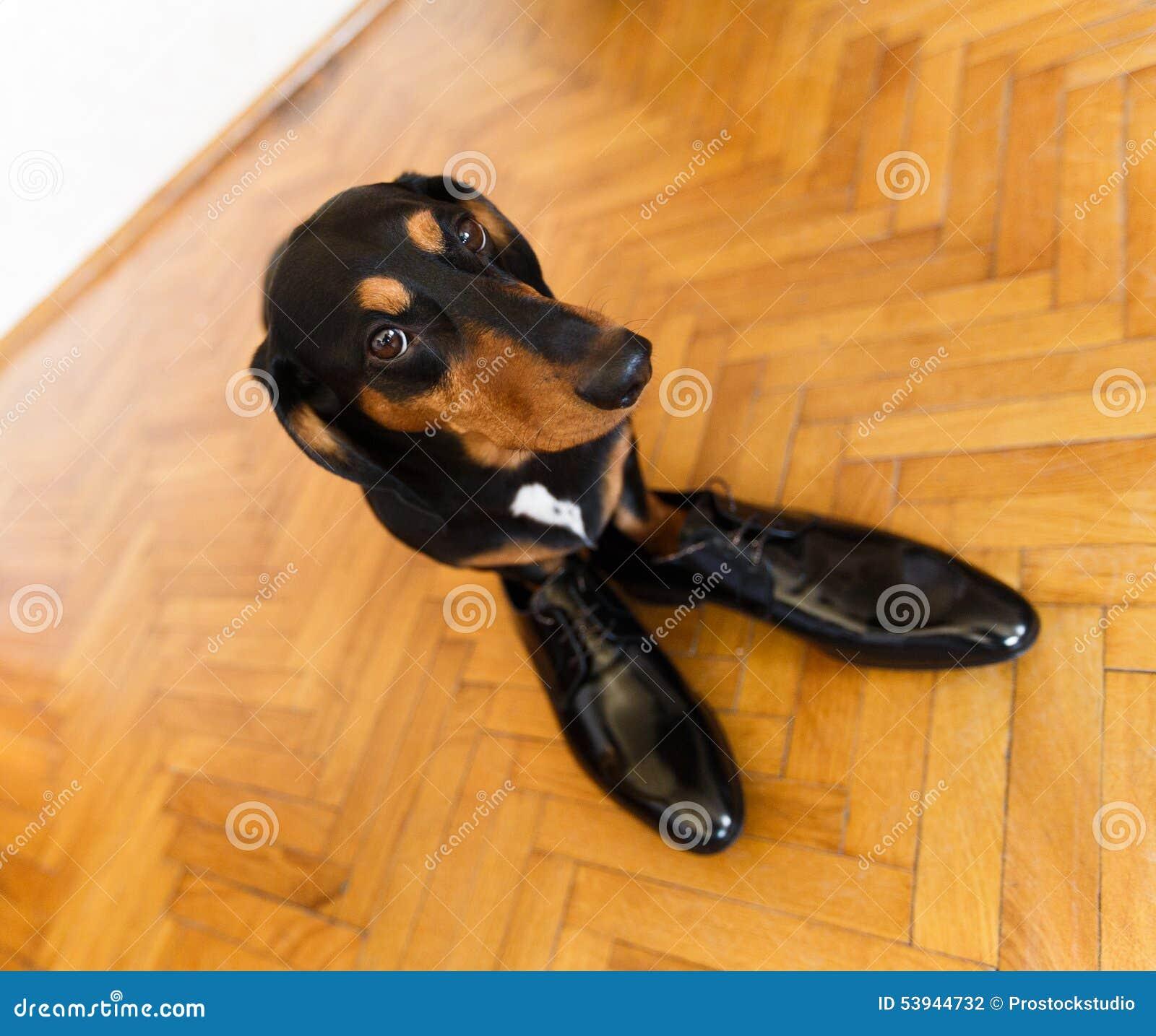 cane-elegante-del-bassotto-tedesco-scarp