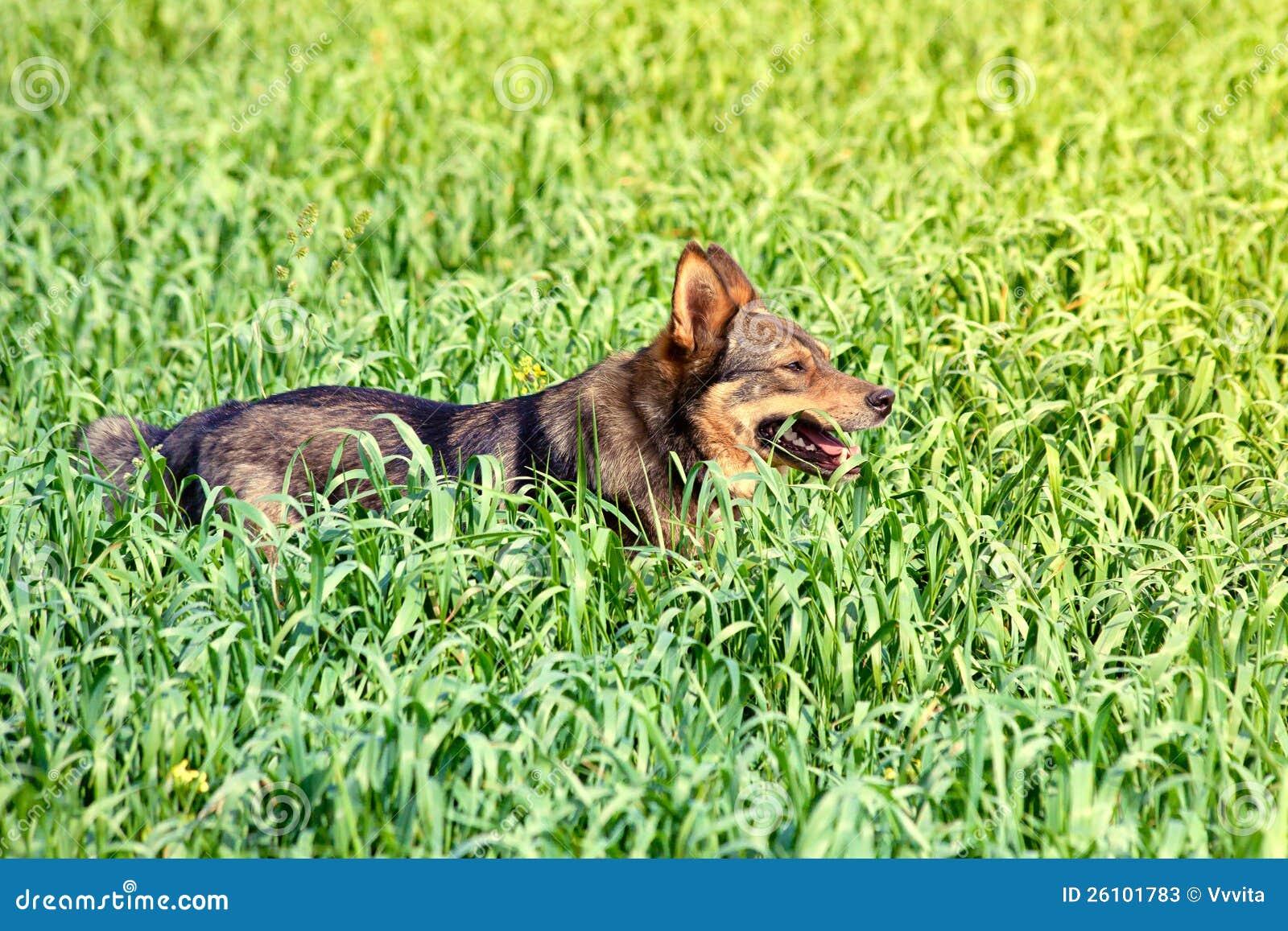 Cane in erba