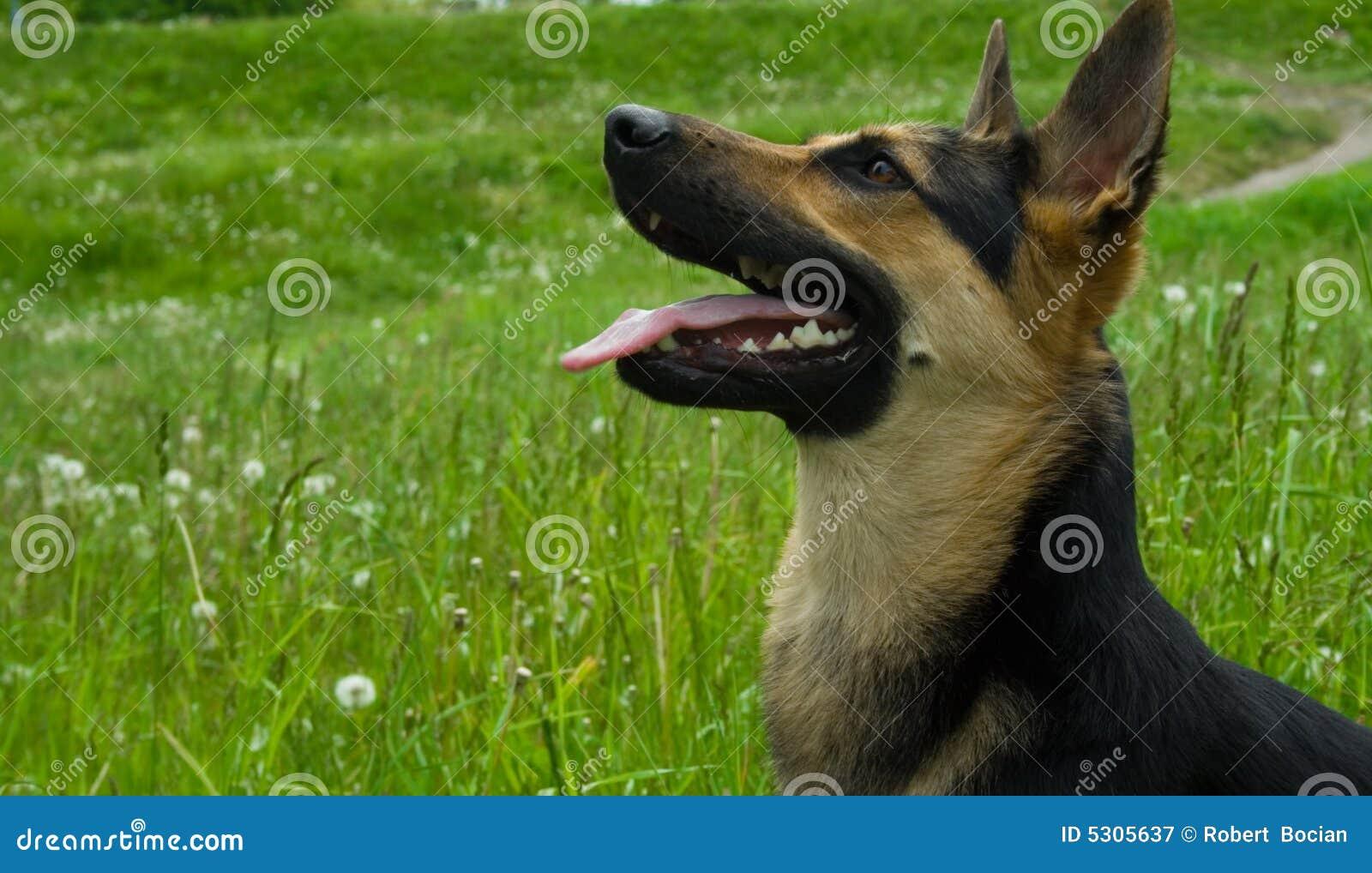 Download Cane felice immagine stock. Immagine di hound, nero, bello - 5305637