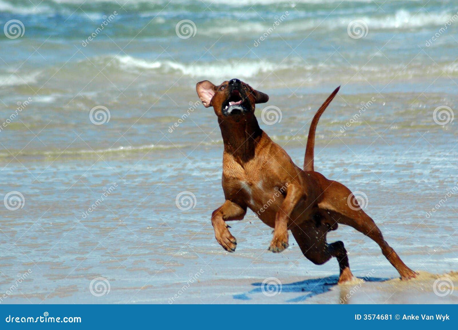 Un bello cane di segugio maschio africano attivo di rhodesian