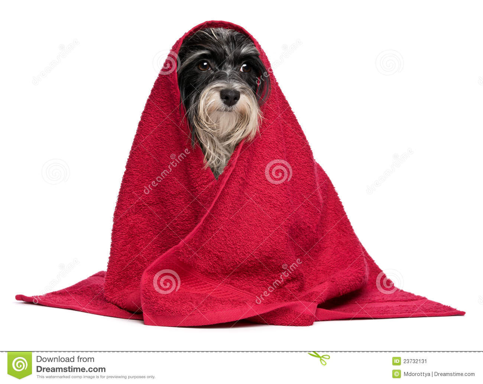 Cane havanese in bianco e nero bagnato dopo il bagno - Bagno cane dopo antipulci ...