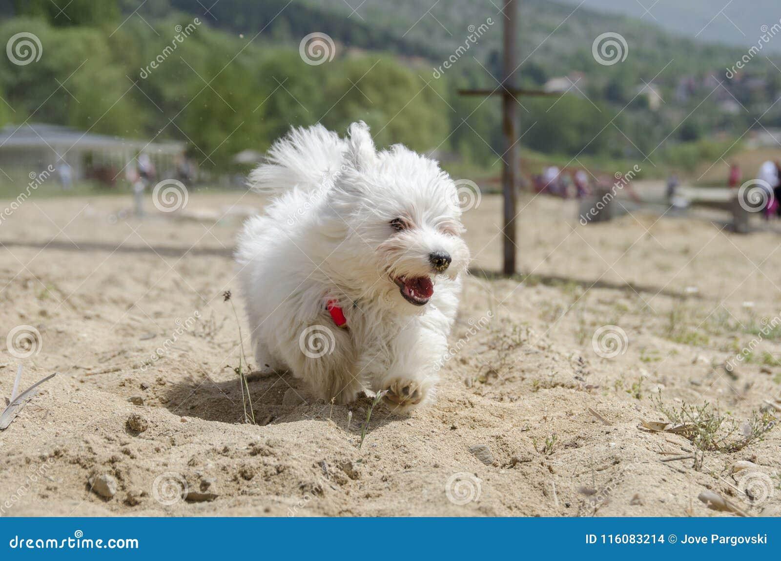 Cane Lanuginoso Sveglio Su Funzionamento Della Spiaggia Cucciolo
