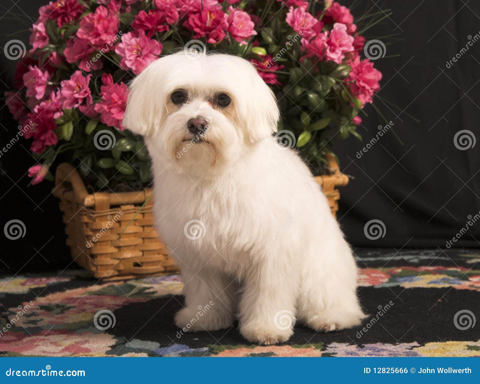 Cane maltese fotografia stock immagine di puppy razza for Cane razza maltese