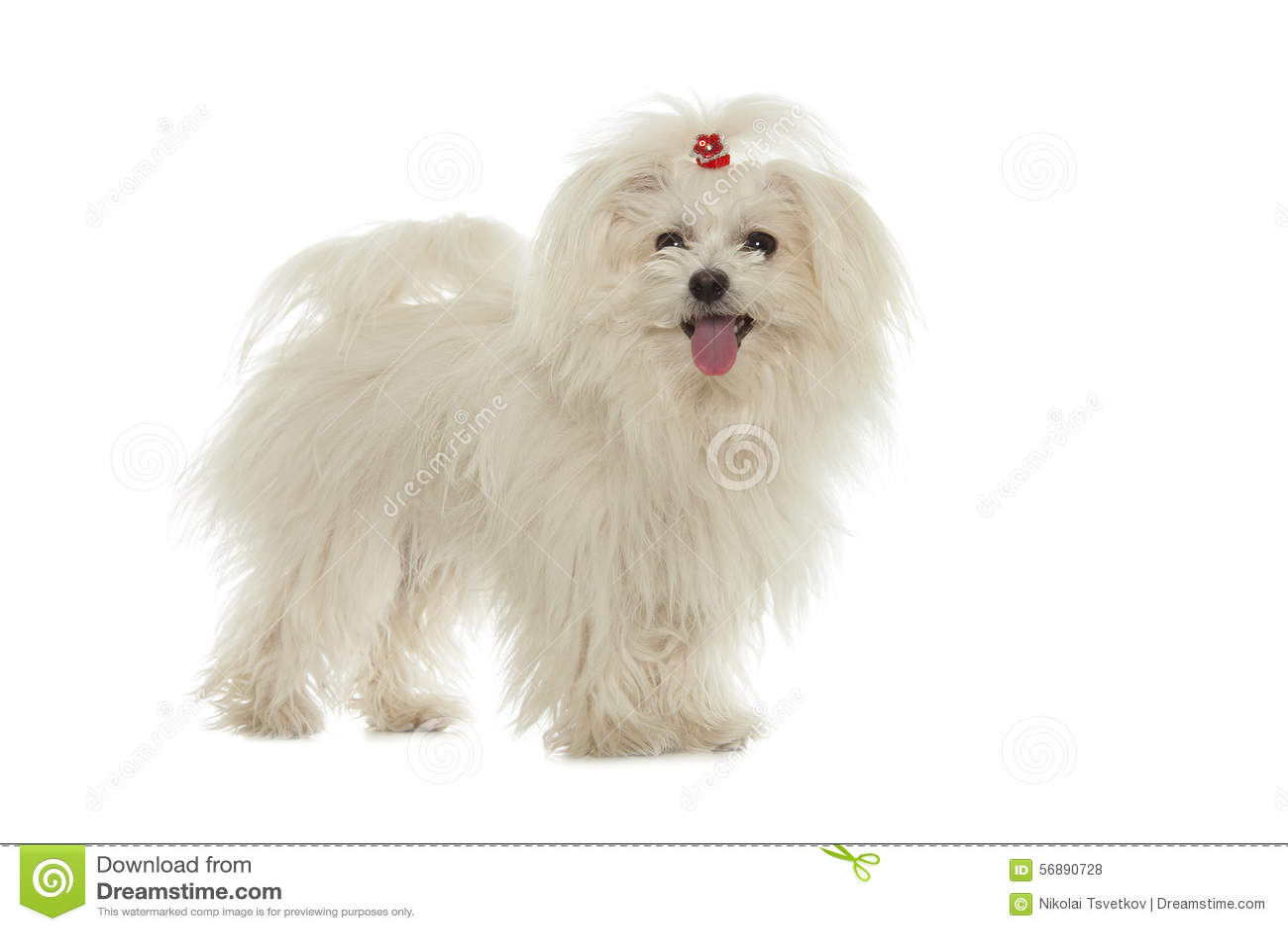 Cane maltese bianco