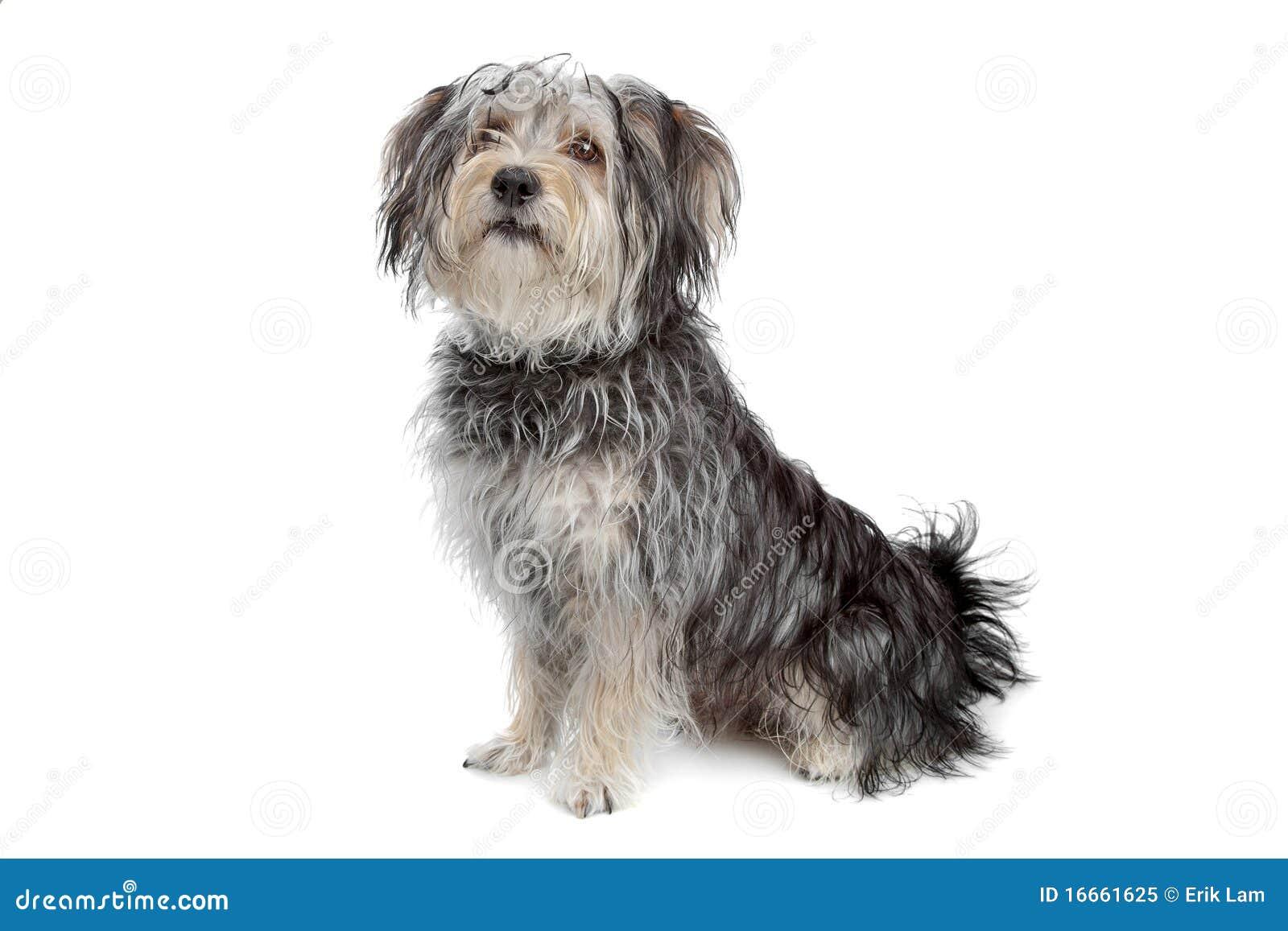 Cane maltese della razza mixed terrier di yorkshire for Cane razza maltese
