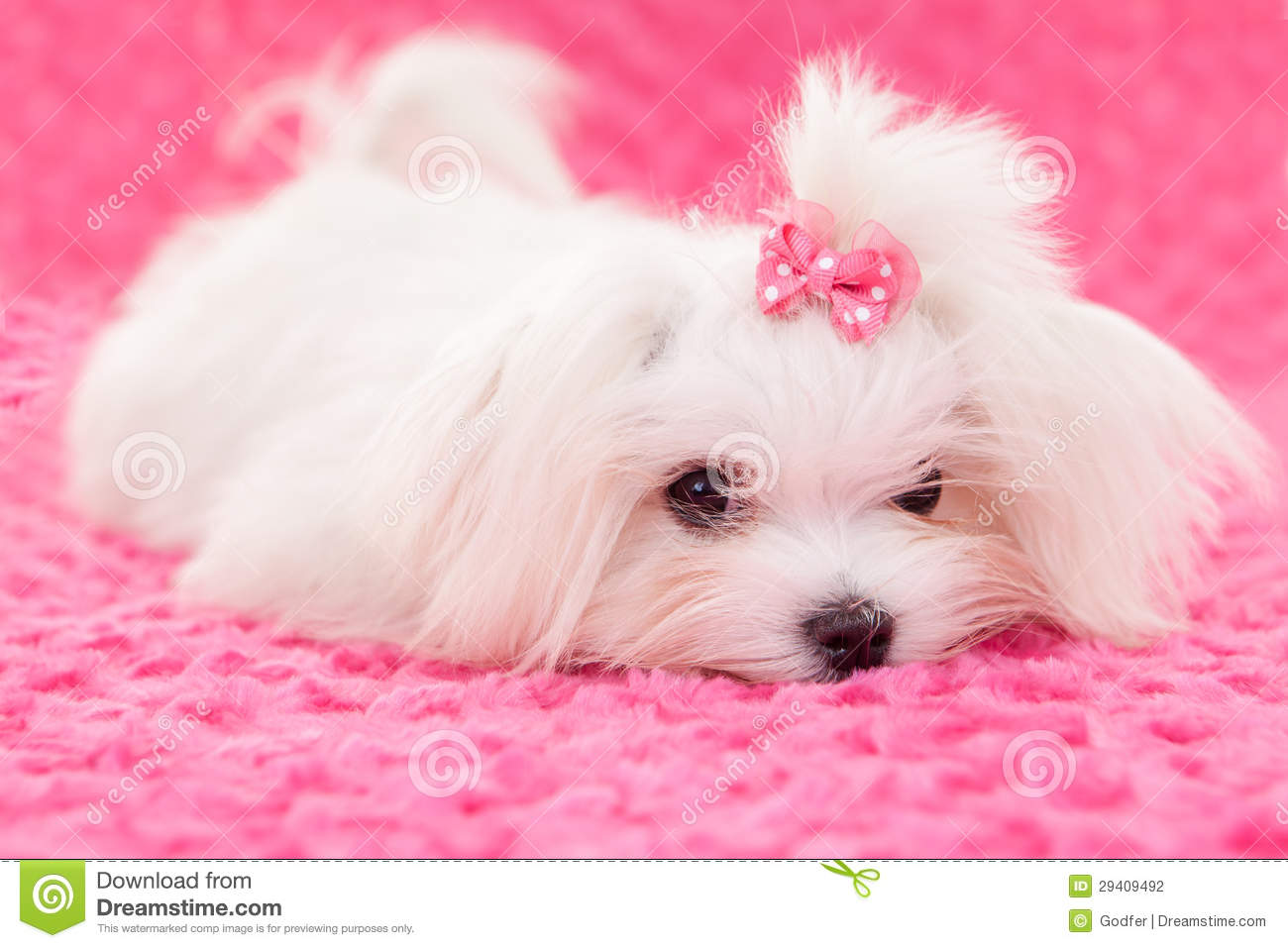 Cane maltese di razza fotografia stock immagine di for Razza maltese