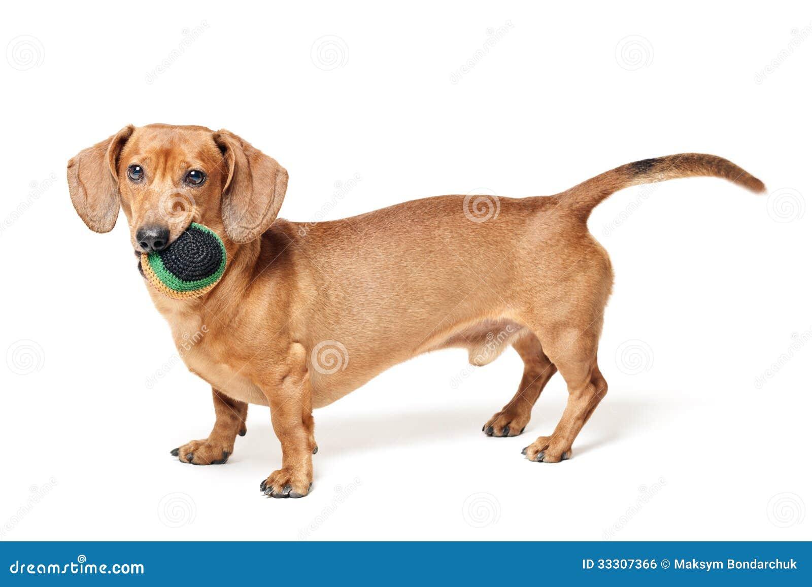 Cane marrone sveglio del bassotto tedesco con la palla for Bassotto cane