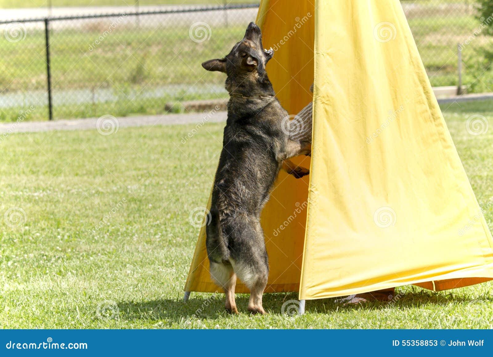 Cane nell addestramento della polizia K-9