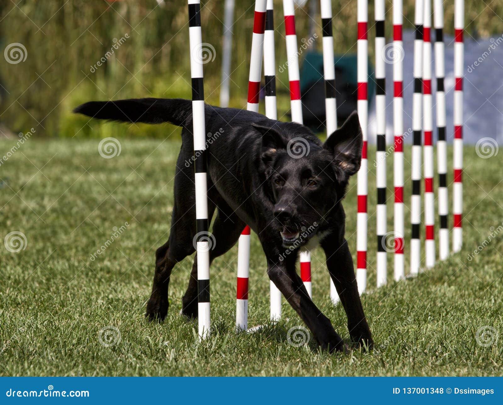 Cane nero che esegue il tessuto Pali di agilità