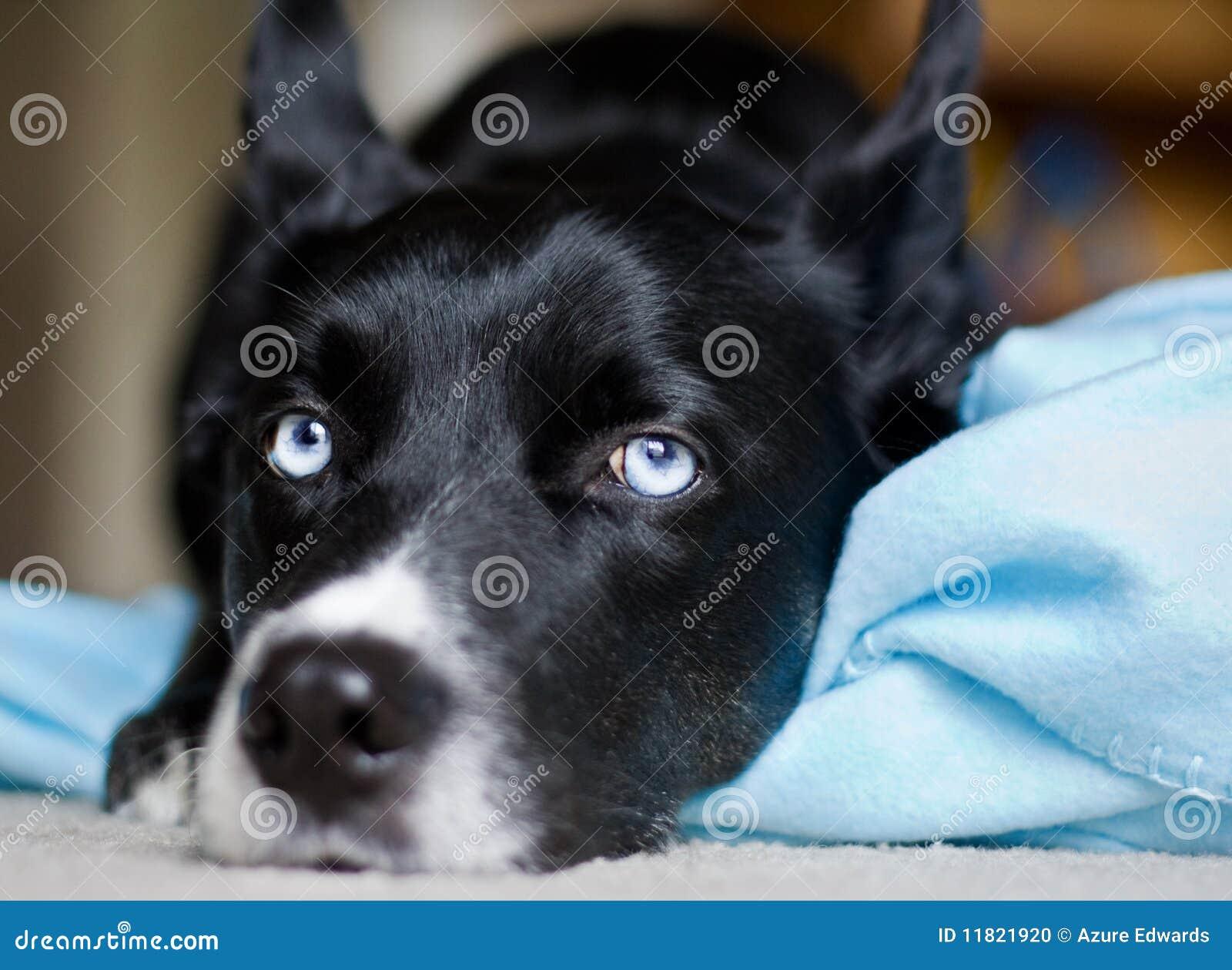 Cane nero con gli occhi azzurri fotografia stock - Cane occhi azzurri ...