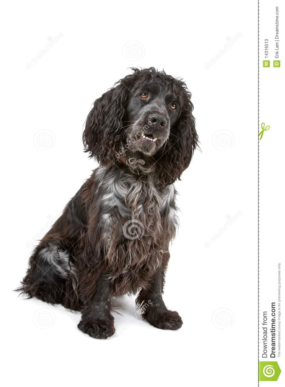 american cocker spaniel black