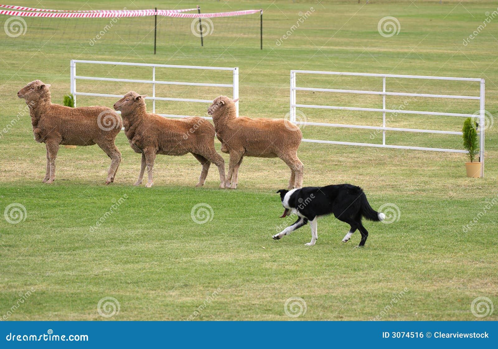 Cane Pastore Di Prove Del Cane Di Pecore Fotografia Stock Immagine