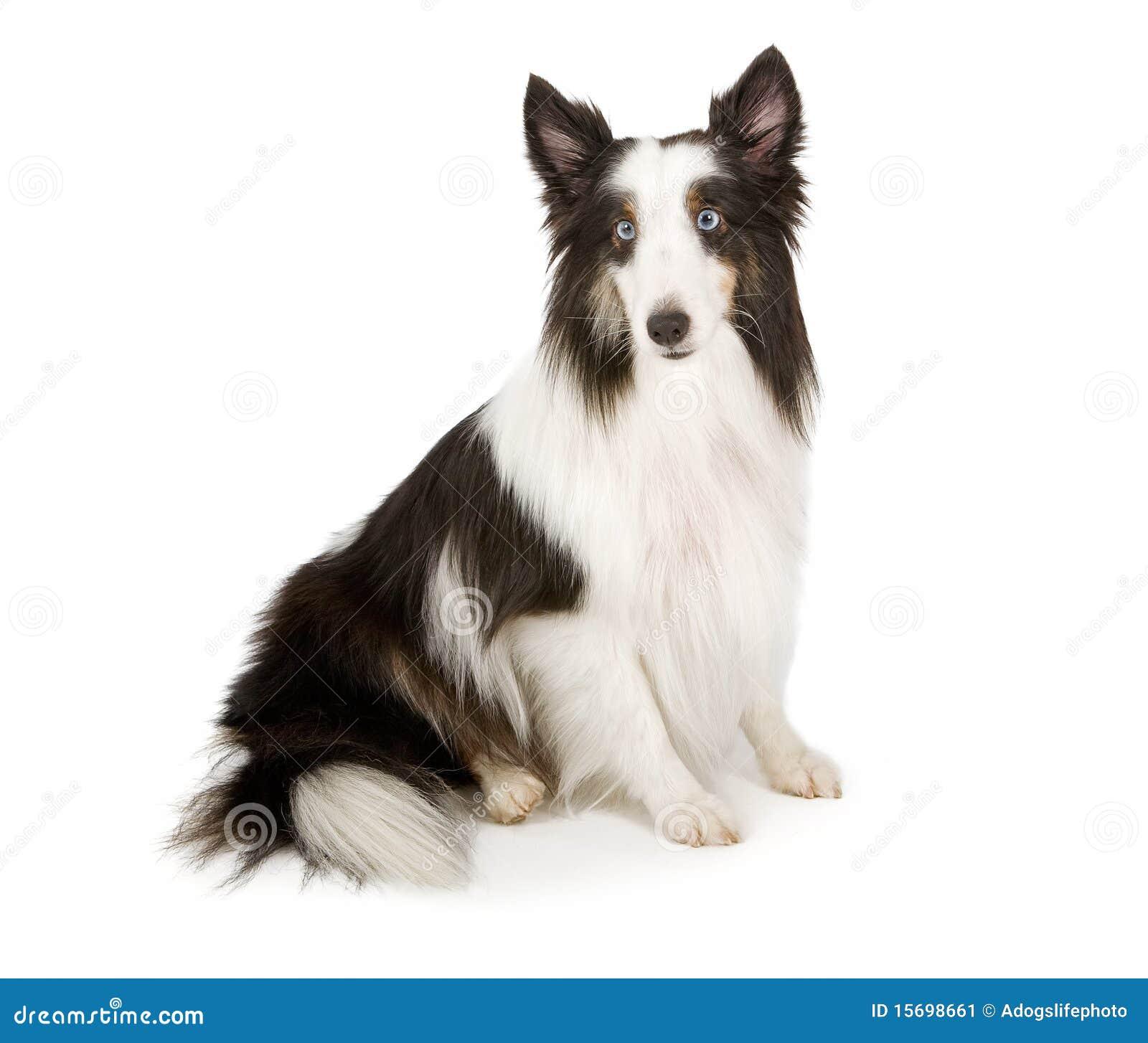 Cane pastore di shetland con la foto di riserva degli - Cane occhi azzurri ...