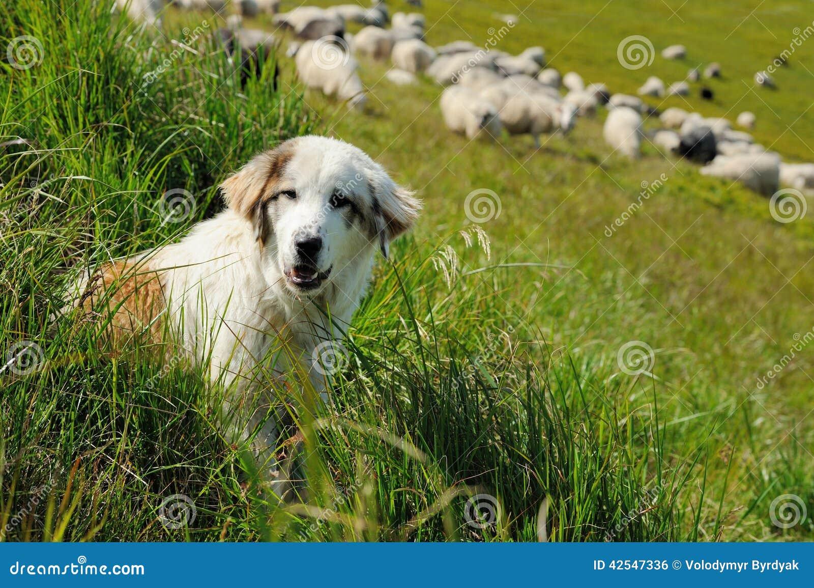 Cane Pastore E Pecore Fotografia Stock Immagine Di Agnello 42547336