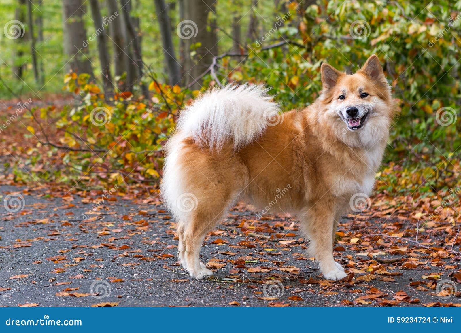 Cane pastore islandese nella foresta di autunno
