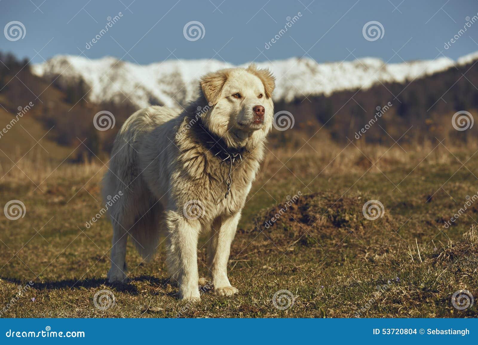 Cane pastore simile a pelliccia bianco vigilante