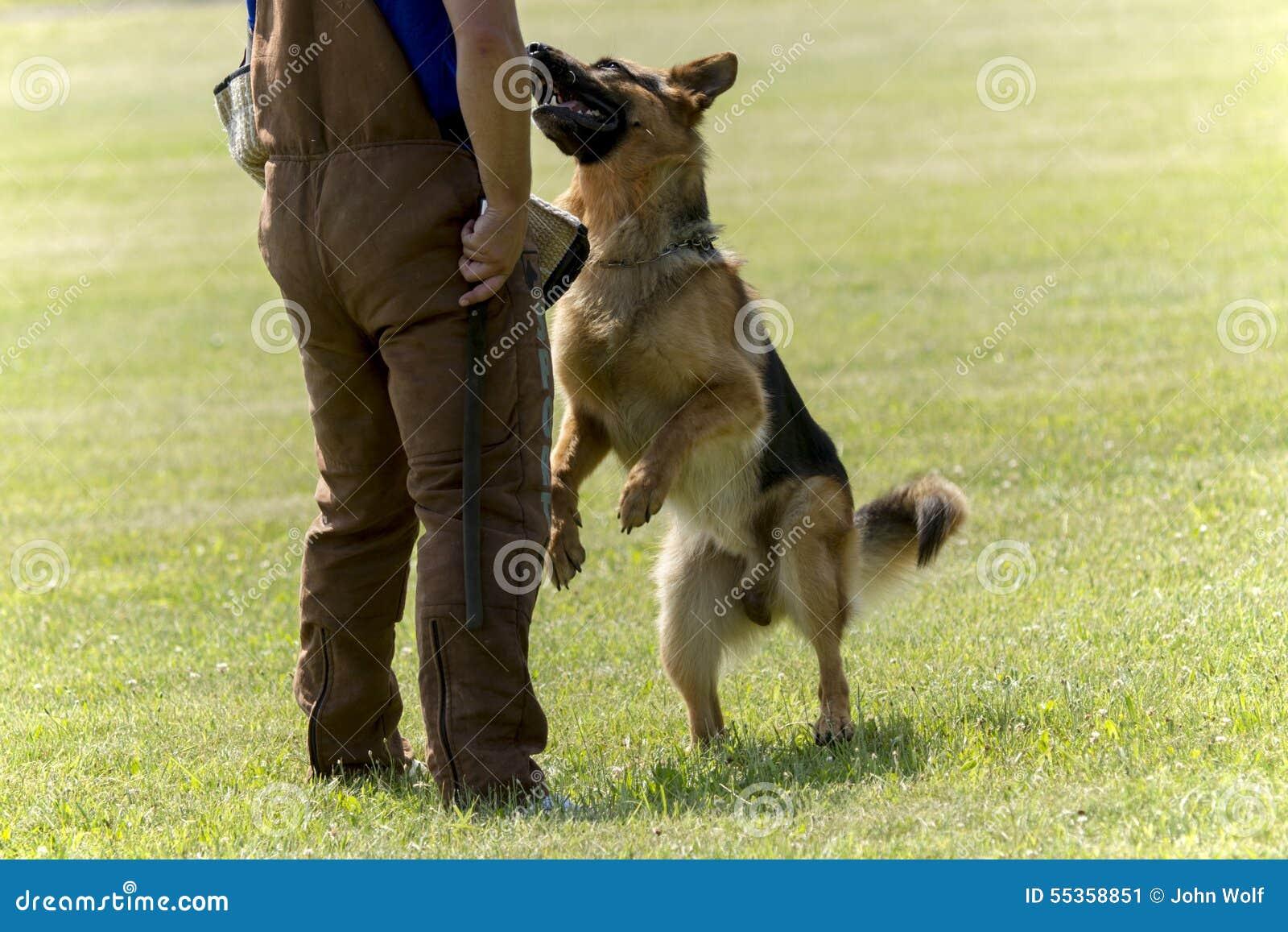 Cane poliziotto nell addestramento