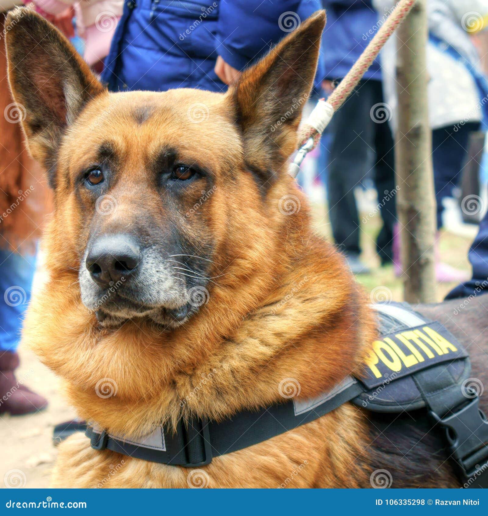 Cane Poliziotto Nella Missione Pastore Tedesco Fotografia Stock