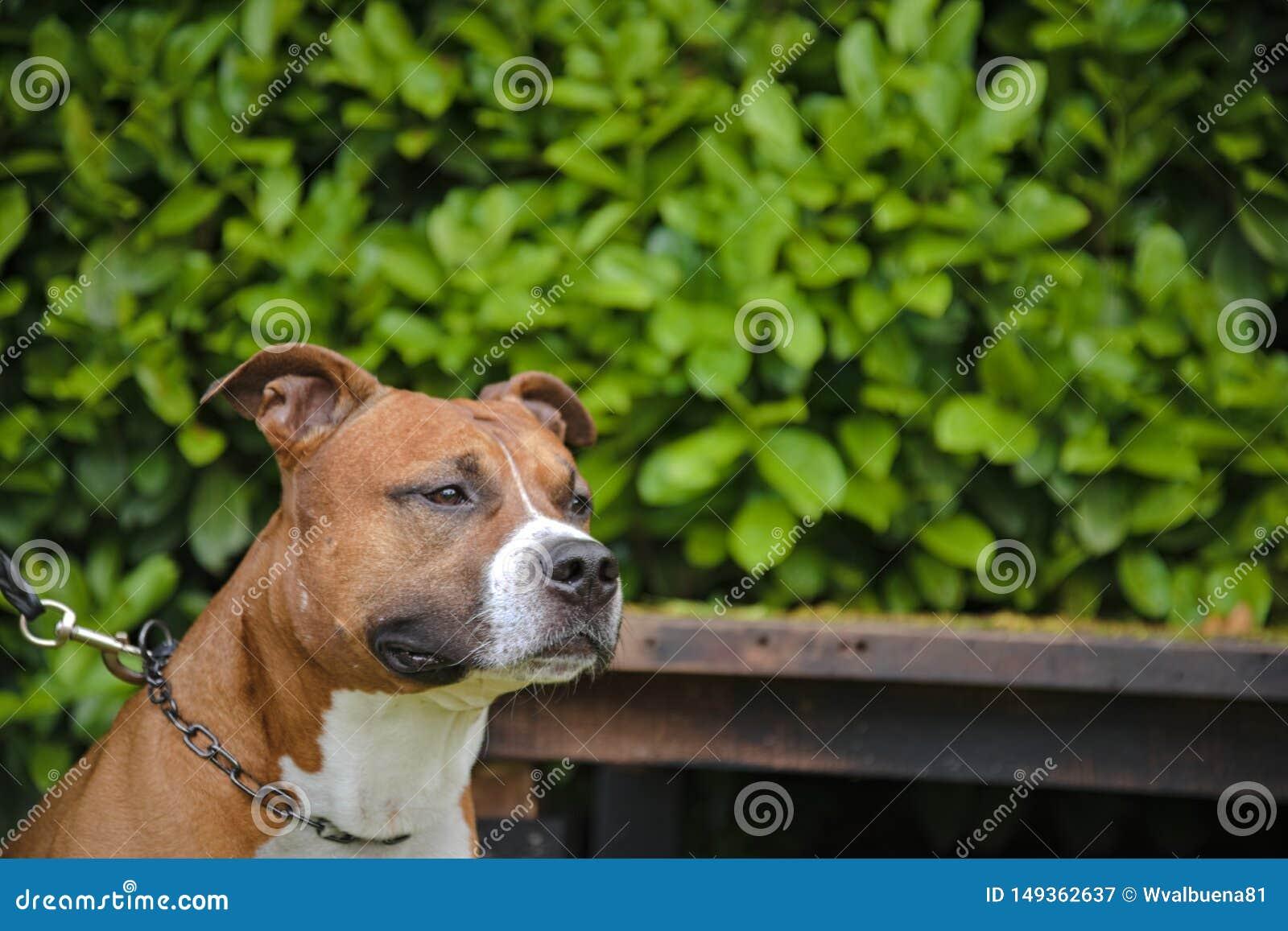 Cane puro della razza di Amstaff Staffordshire