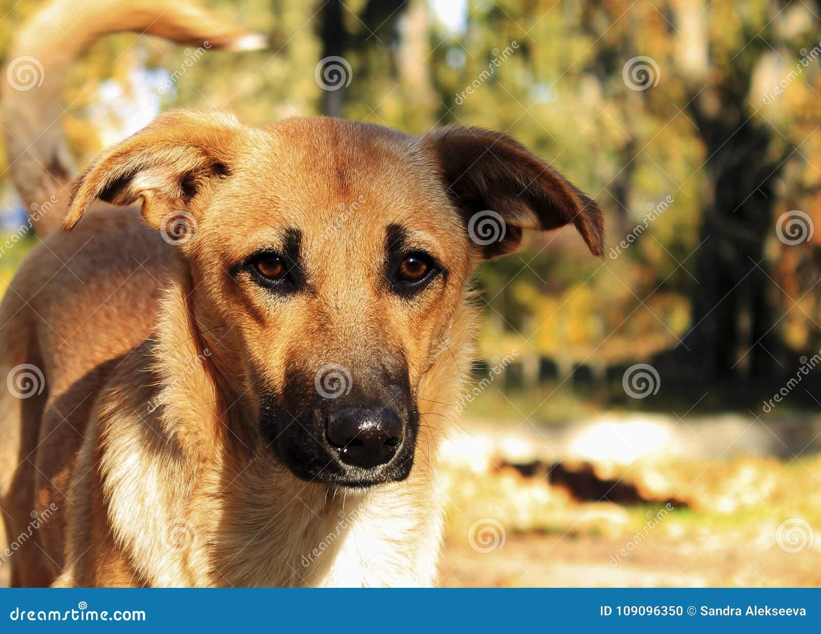 Cane randagio dello zenzero con un naso nero e le orecchie languide