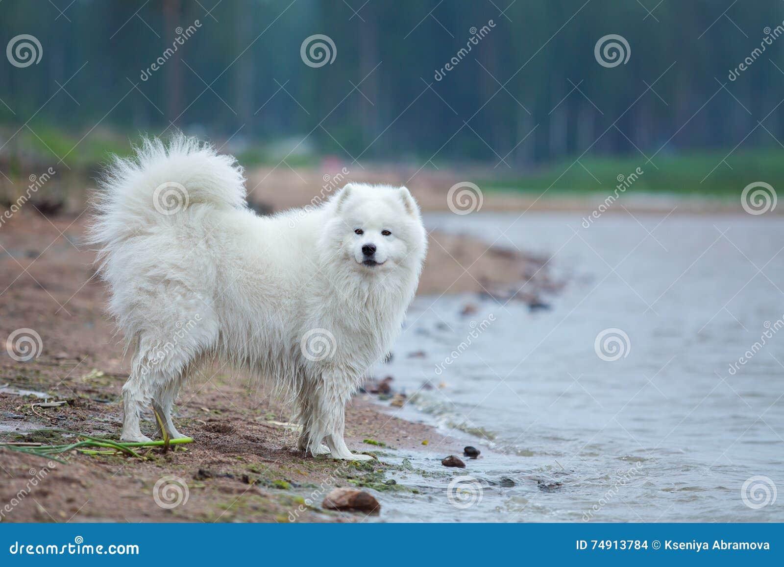 Cane samoiedo di razza che sta intorno all acqua sulla spiaggia