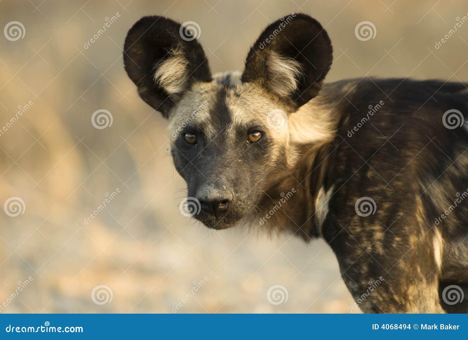 Cane selvaggio