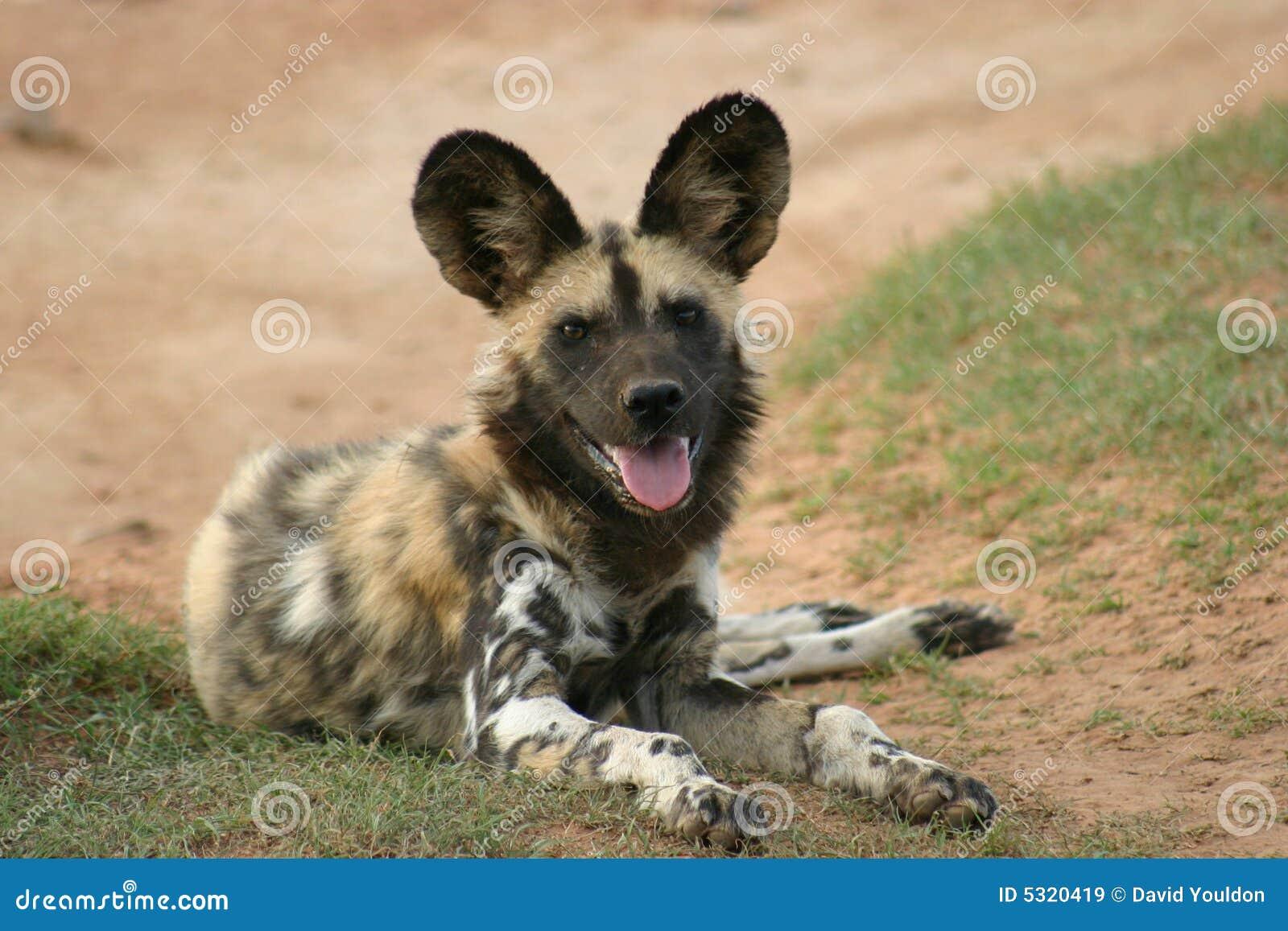 Download Cane selvaggio africano immagine stock. Immagine di africa - 5320419