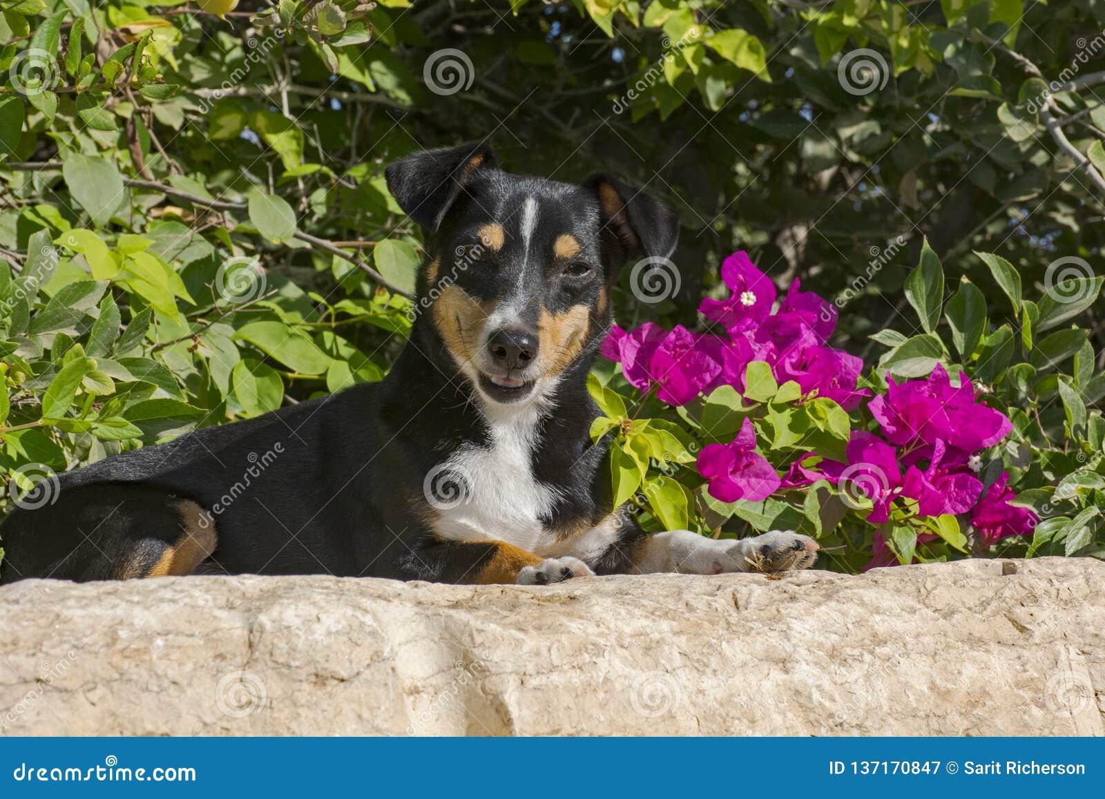 Cane sorridente davanti ai fiori magenta della buganvillea