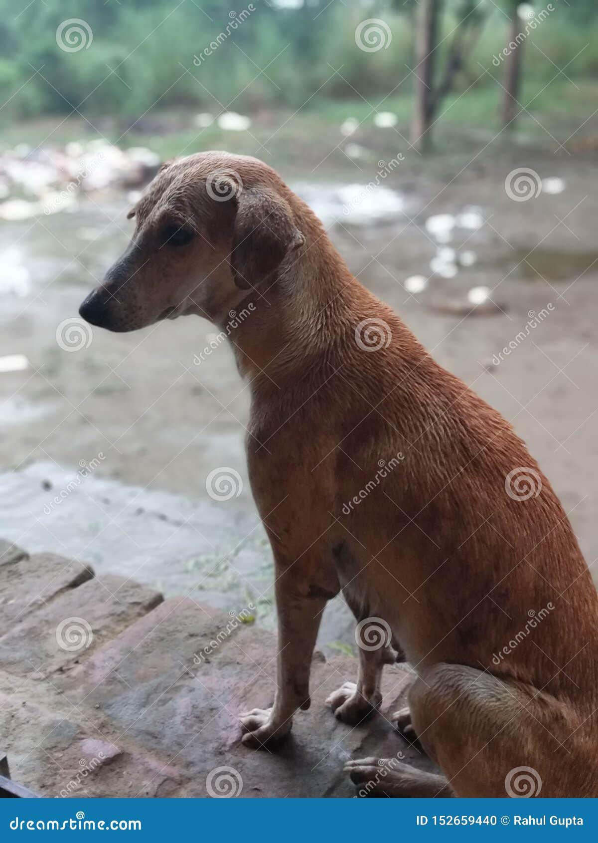 Cane sveglio che aspetta in pioggia