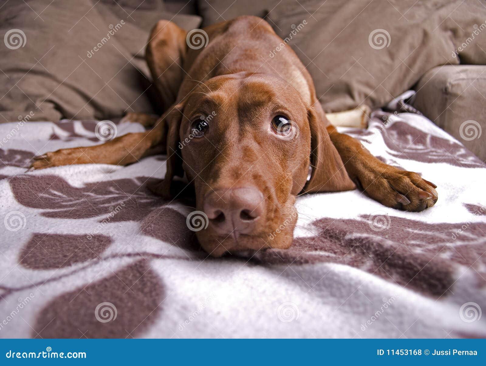 Cane sveglio faticoso.