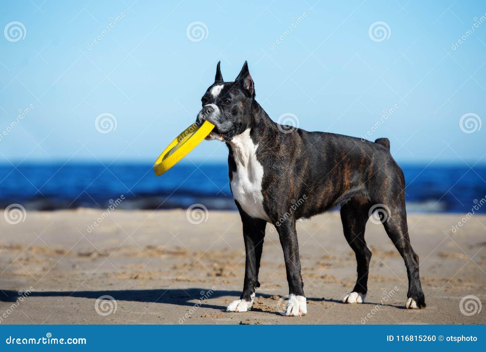 Cane tedesco del pugile sulla spiaggia di estate