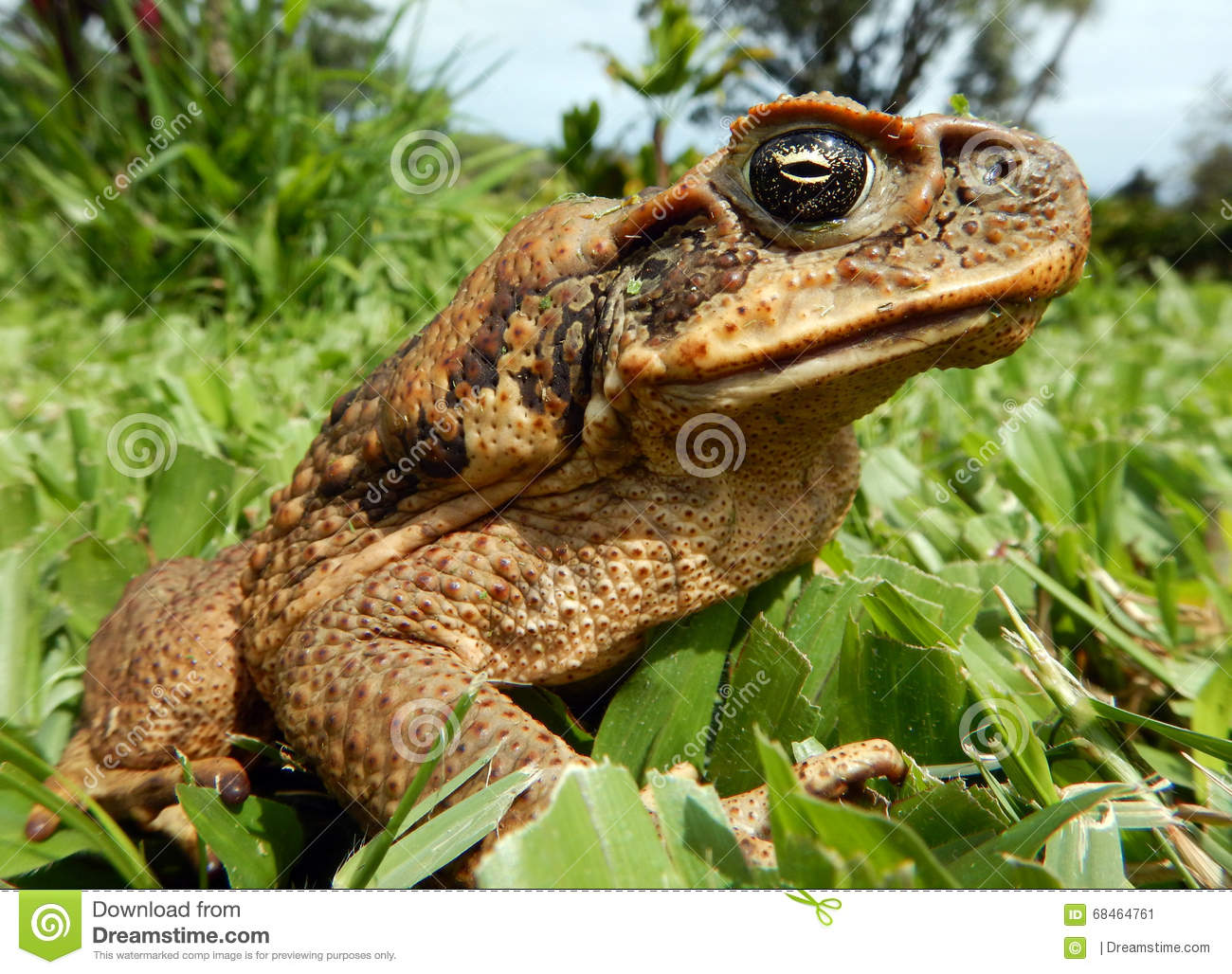 Download Cane Toad On The Big Island Stock Image - Image of aloha, ecological: 68464761