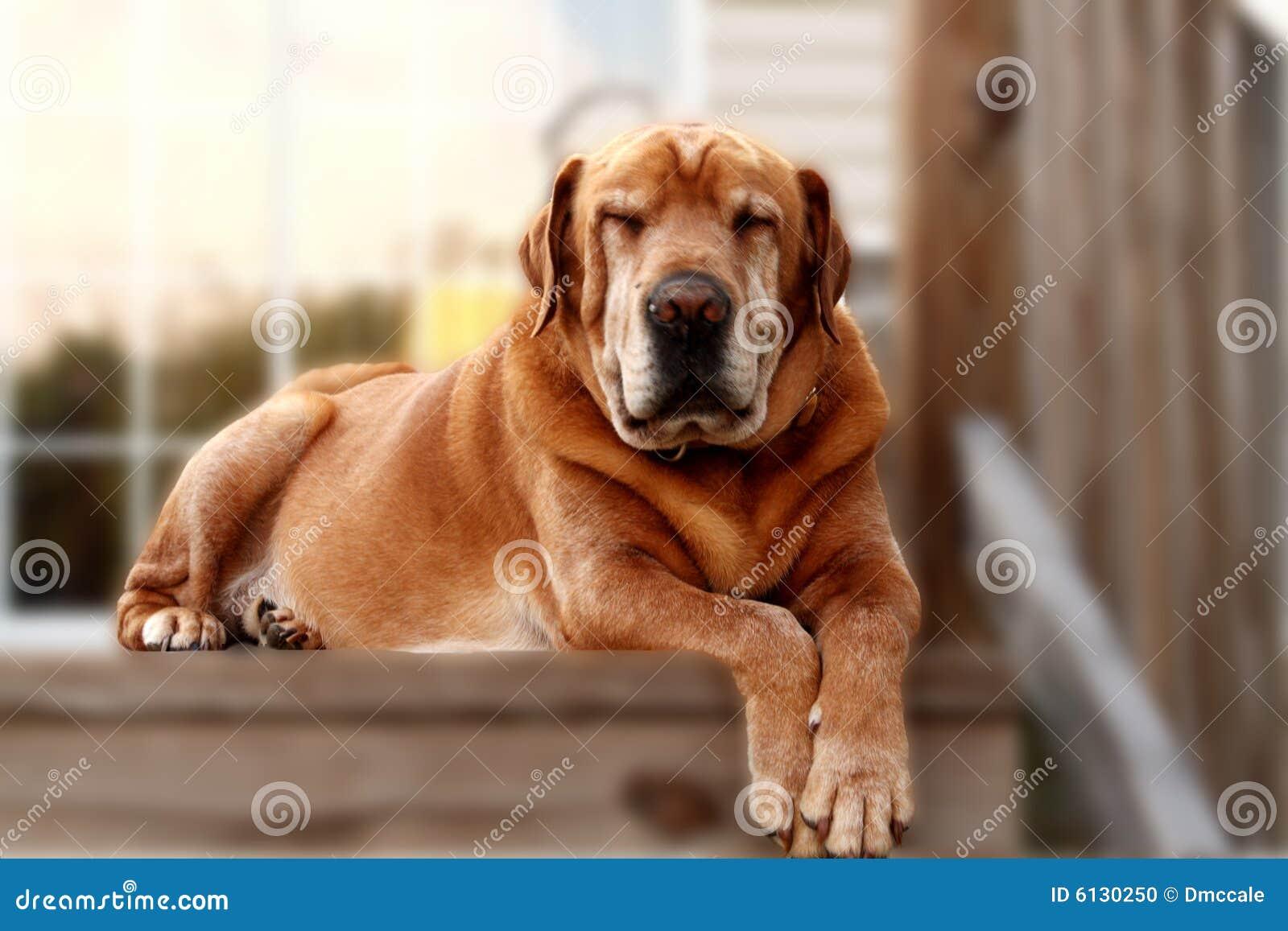 Cane vecchio di sonno