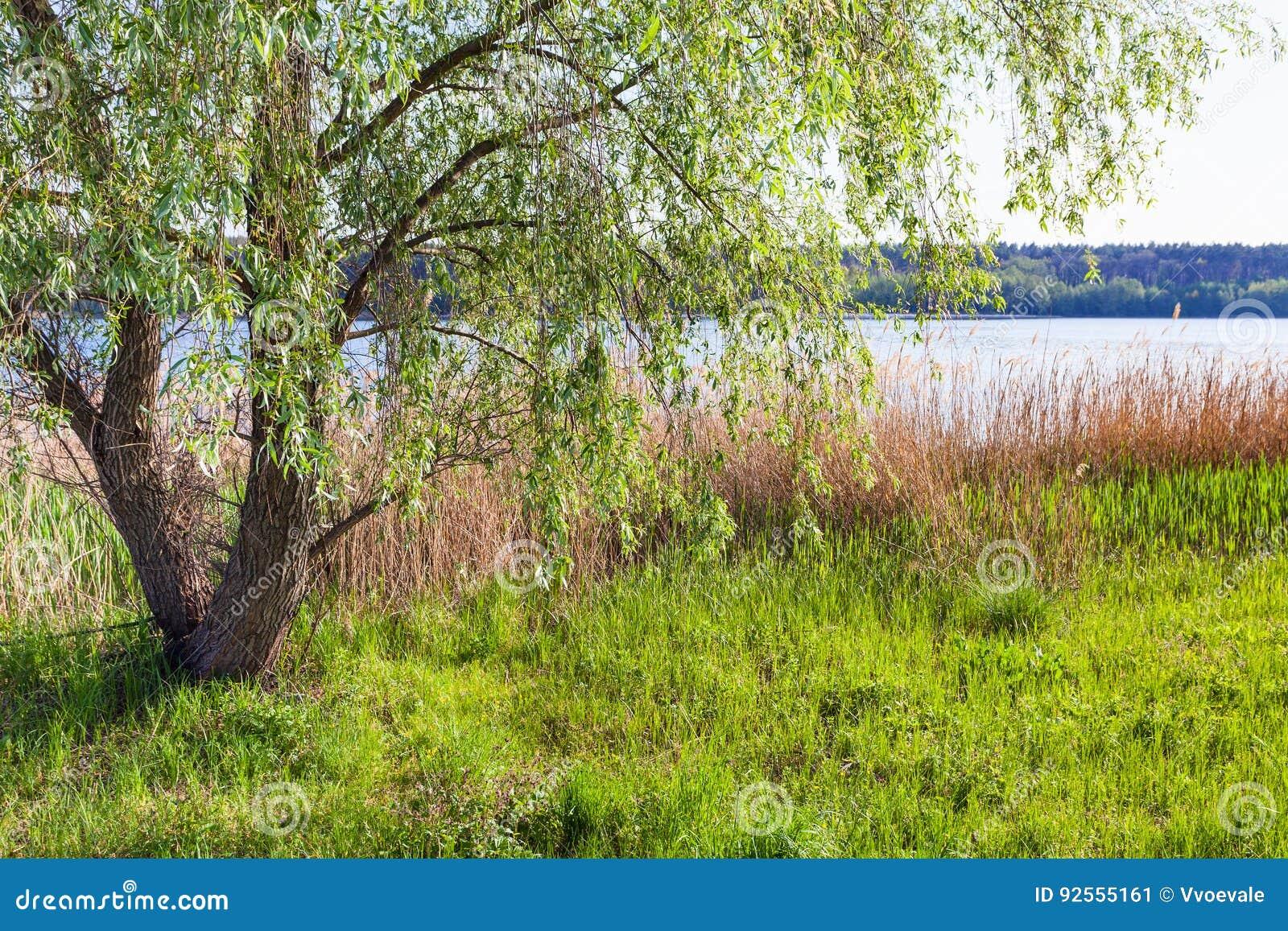 Canebrake ed albero di salice sulla riva degli stagni