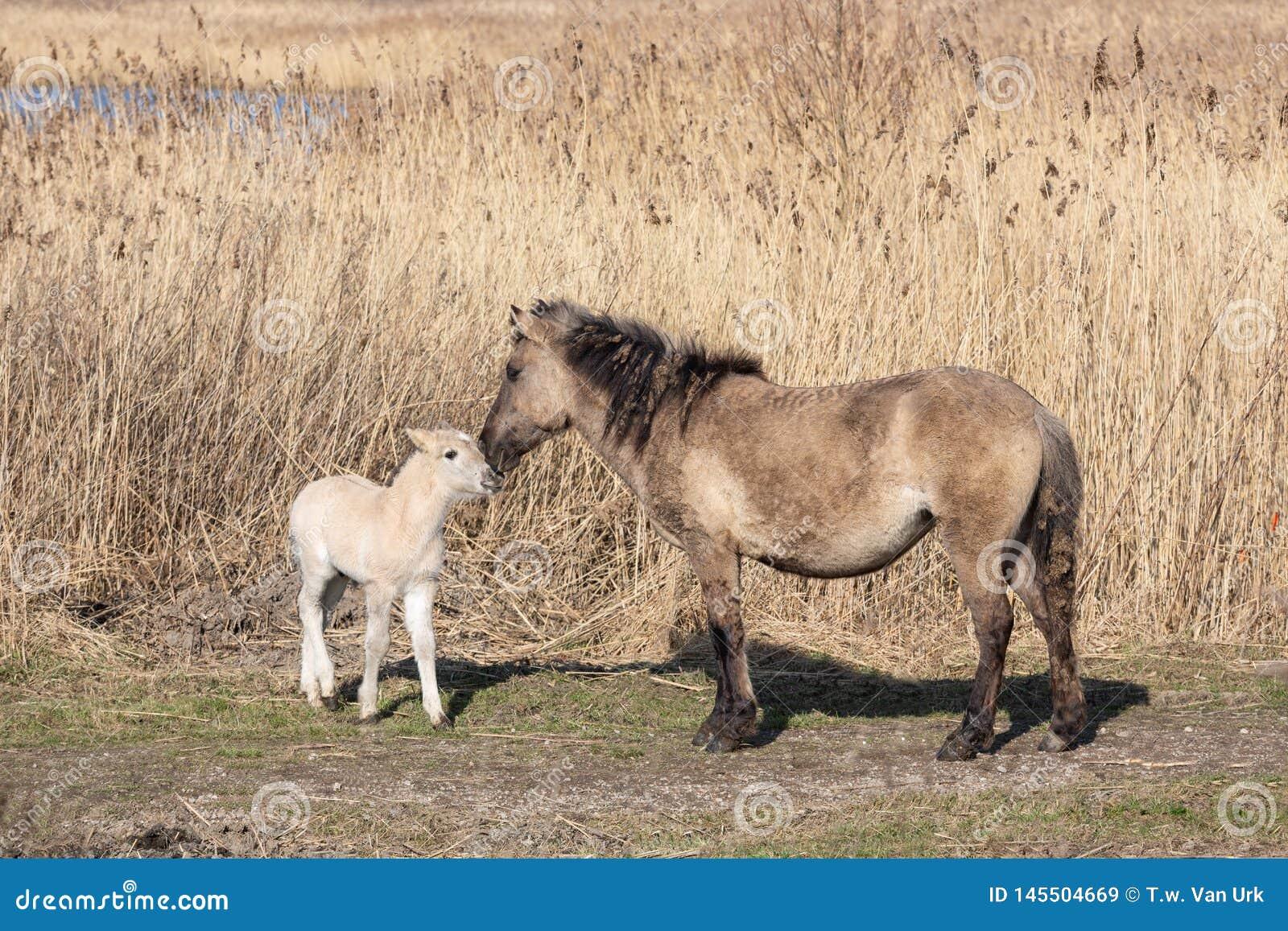 Canebrake with Konik horses in Dutch National Park Oostvaadersplassen