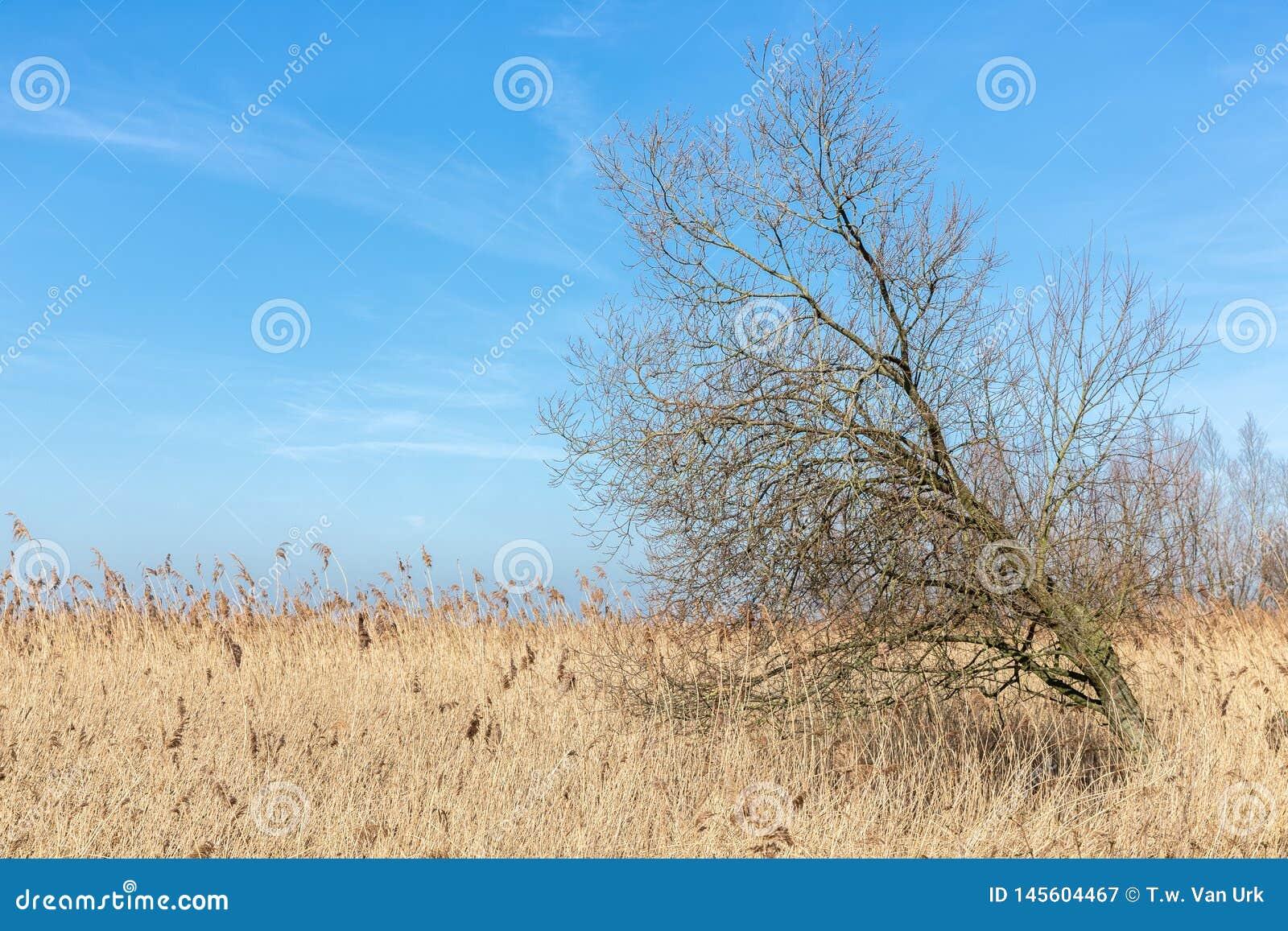 Canebrakes with tree in wetlands of Dutch National Park Oostvaardersplassen