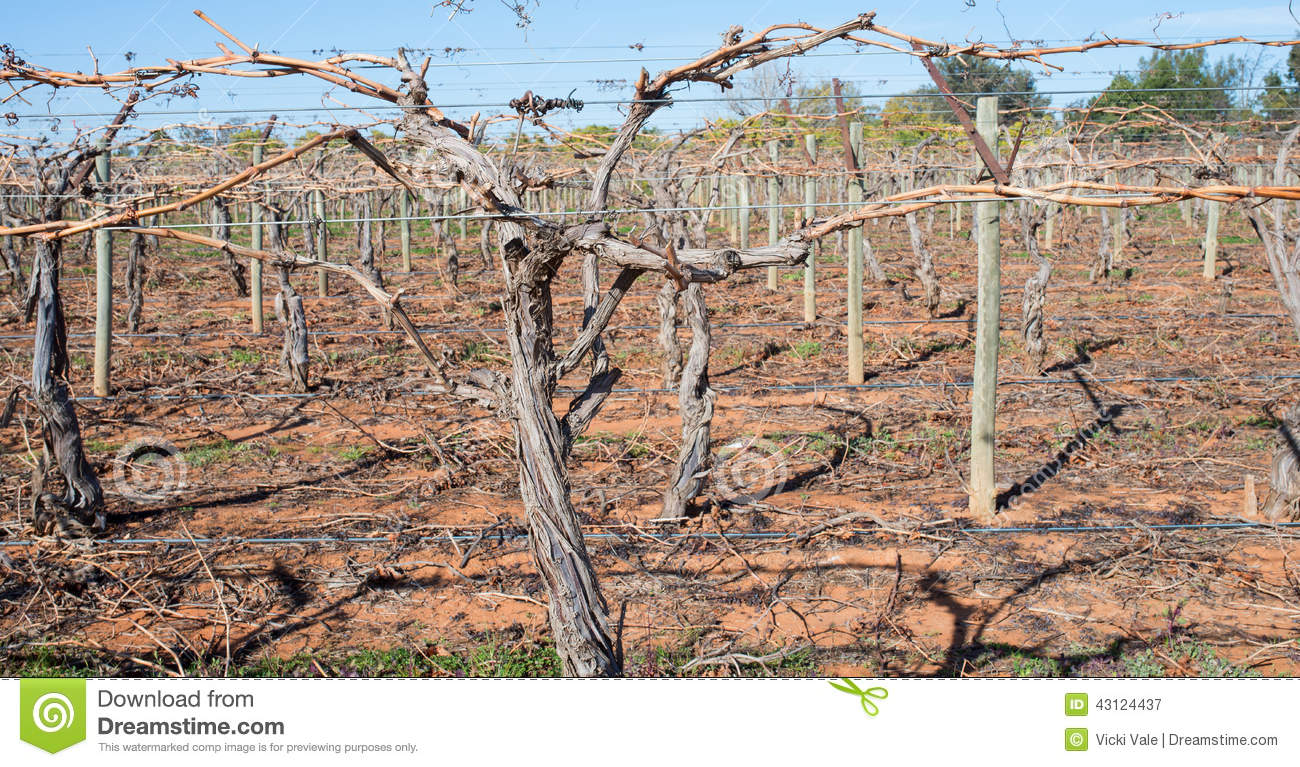 Canes Of Grape Vine On Trellis Stock Photo Image 43124437