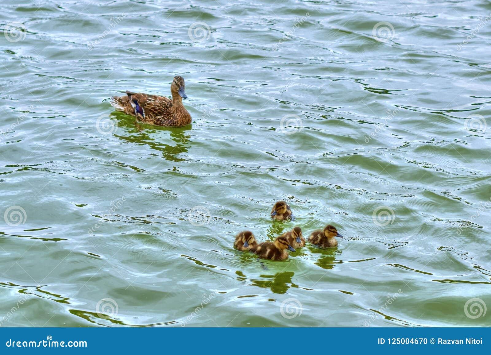 Canetons et canard de mère flottant sur le lac