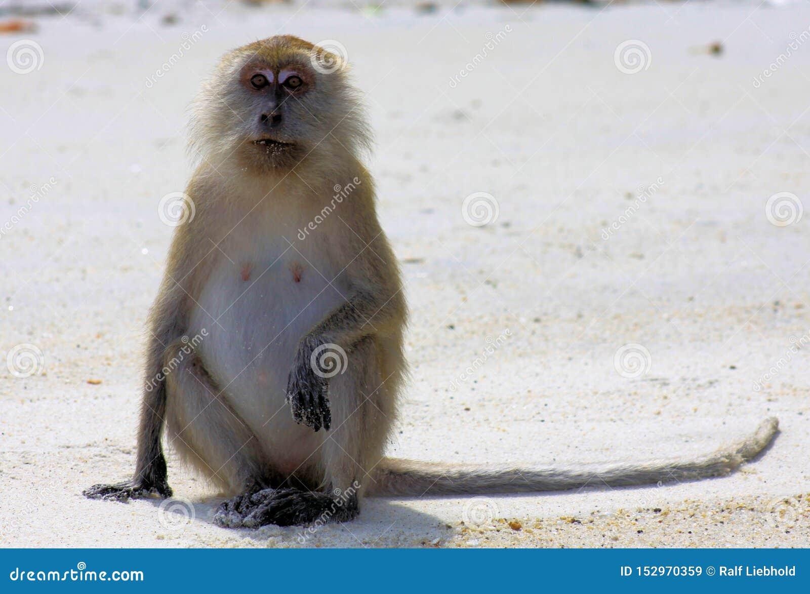 Cangrejo aislado del mono que come el Macaque atado largo, fascicularis del Macaca que se sientan verticalmente en ser humano com