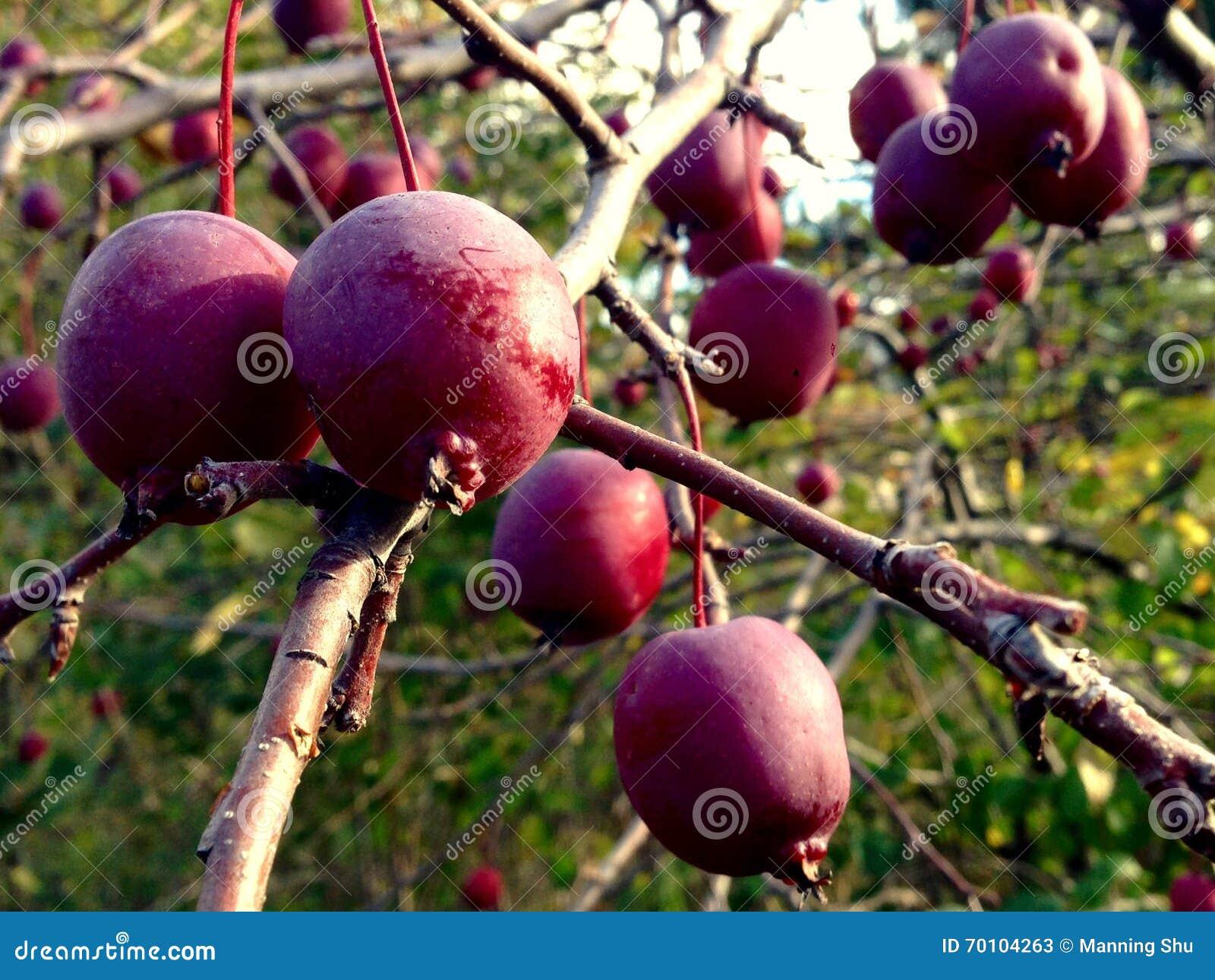 Cangrejo Apple en árbol