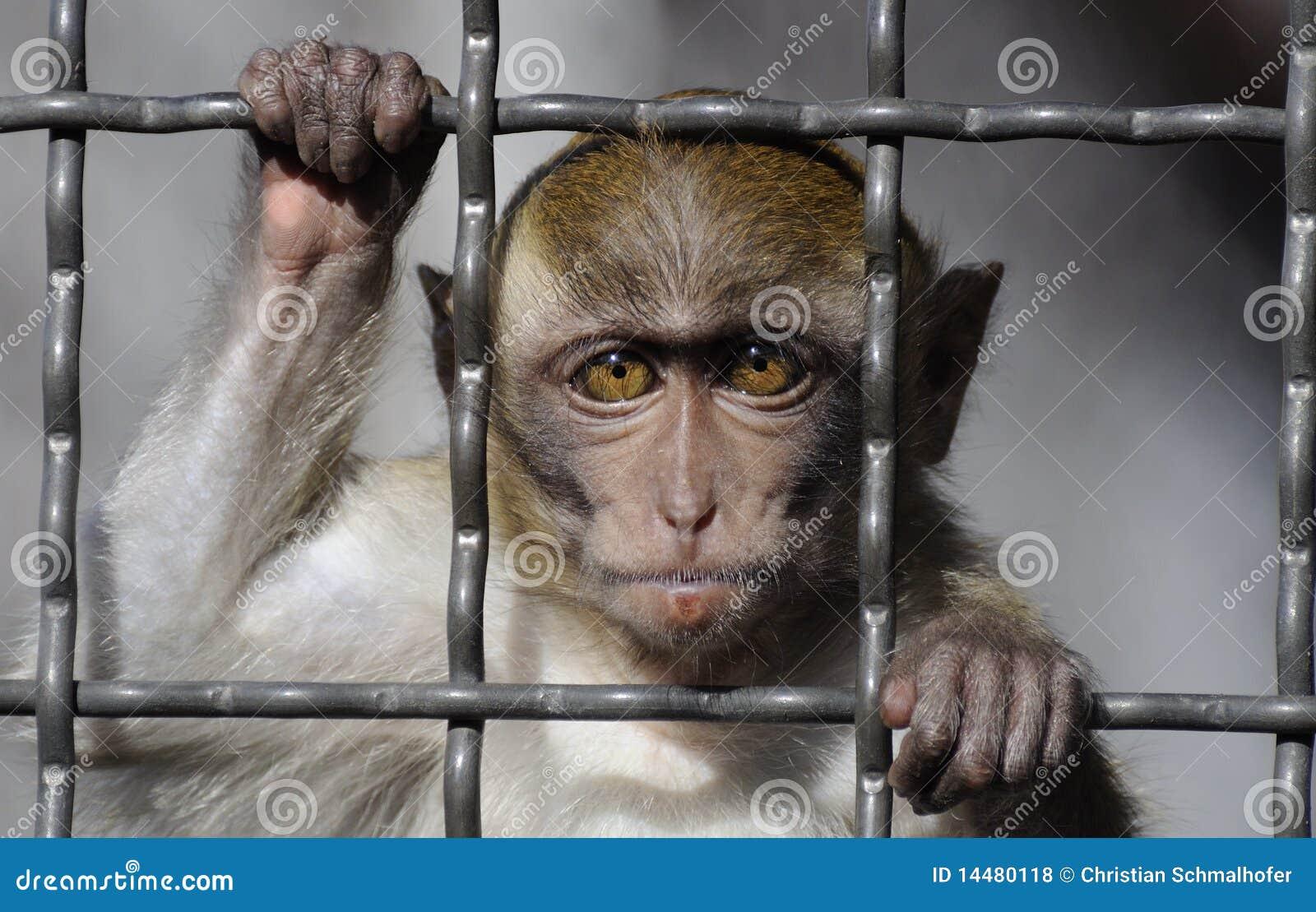 Cangrejo-consumición del Macaque detrás de barras