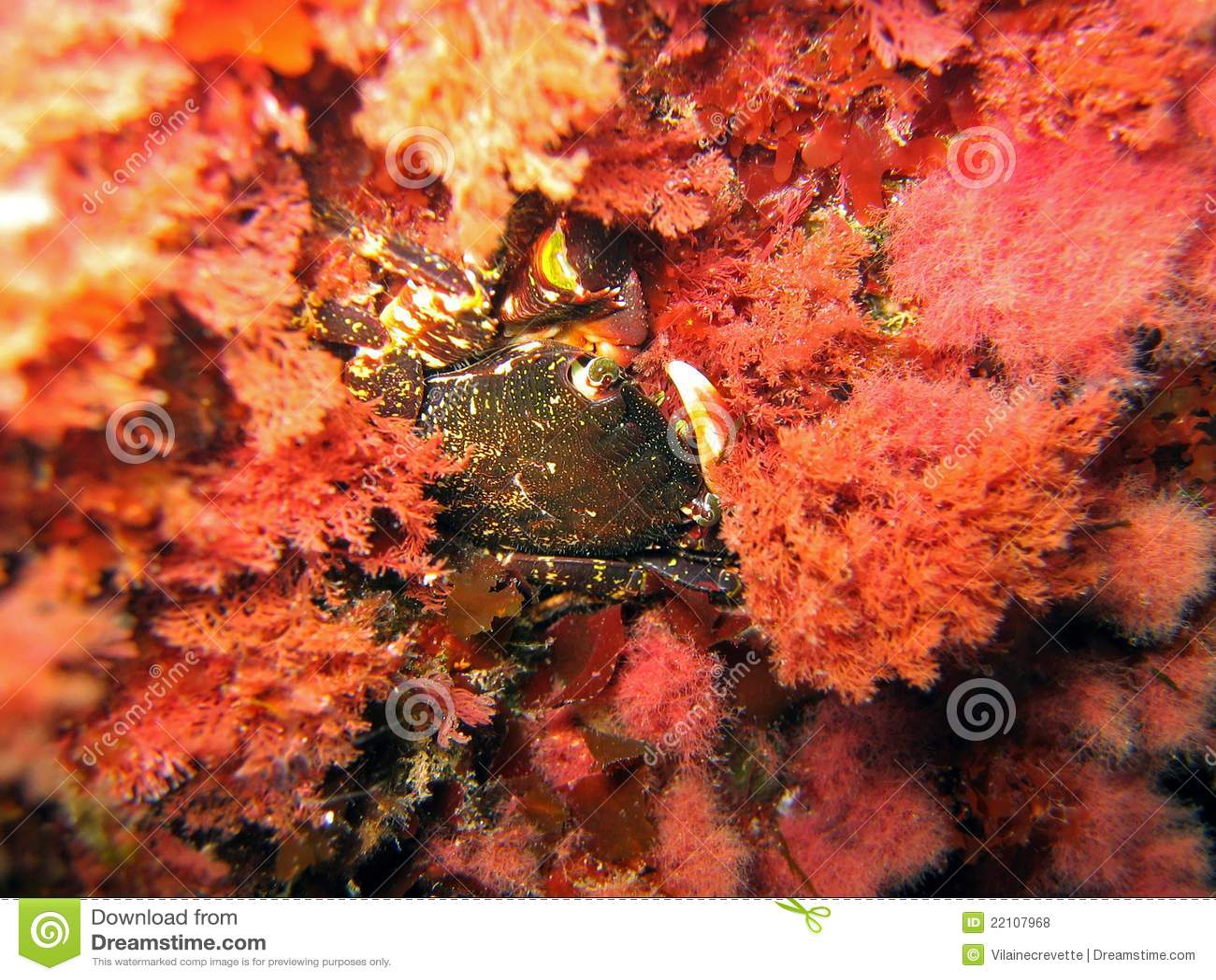 Cangrejo en algas rojas