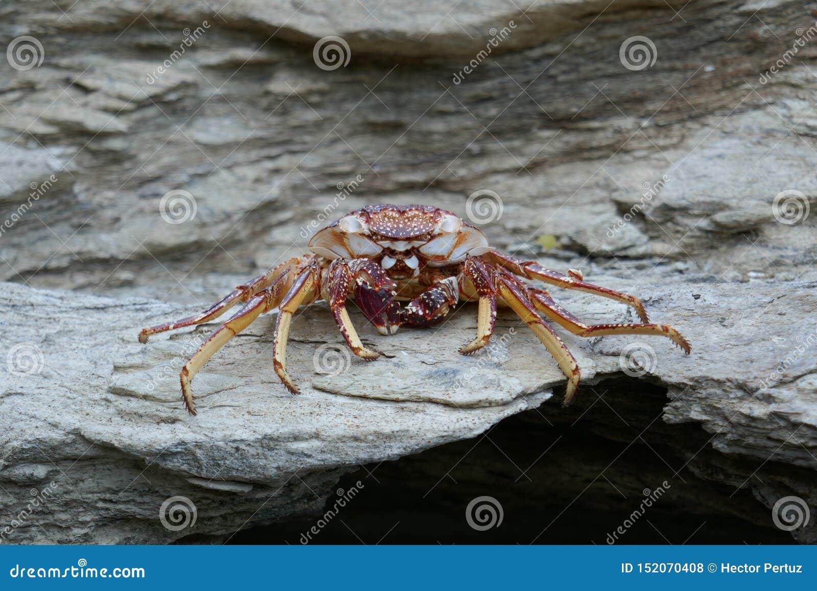 Cangrejo muerto en una roca
