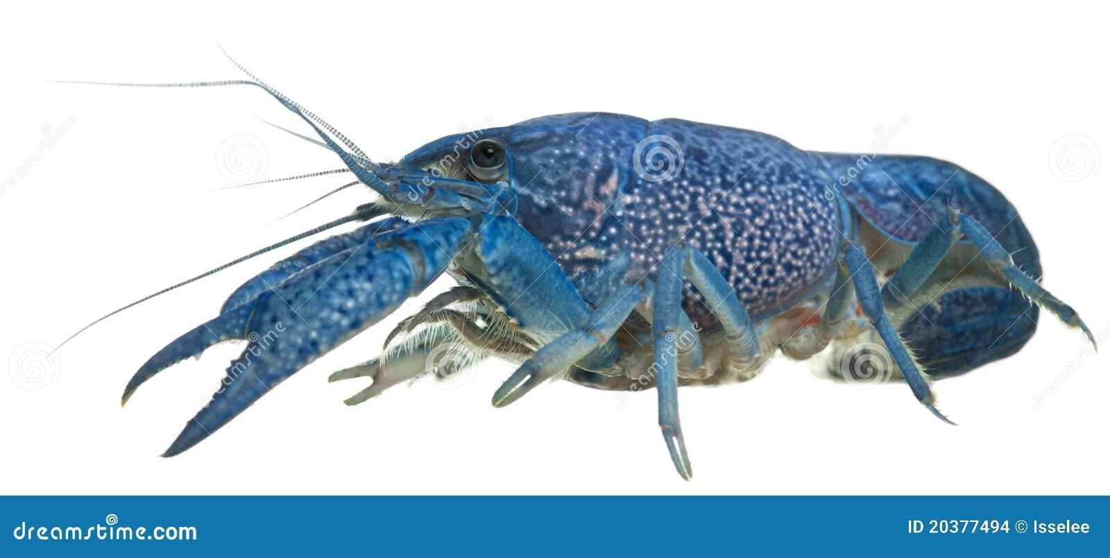 Cangrejos azules foto de archivo. Imagen de áfrica, alimento - 14975412
