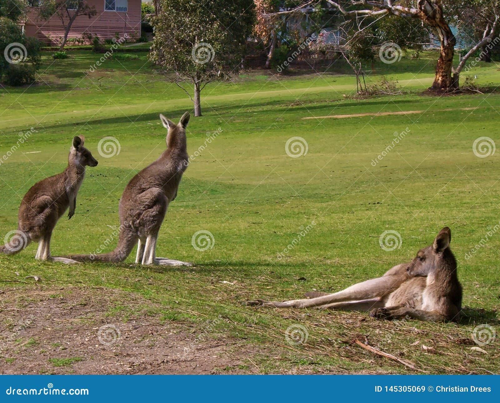 Canguri su un campo