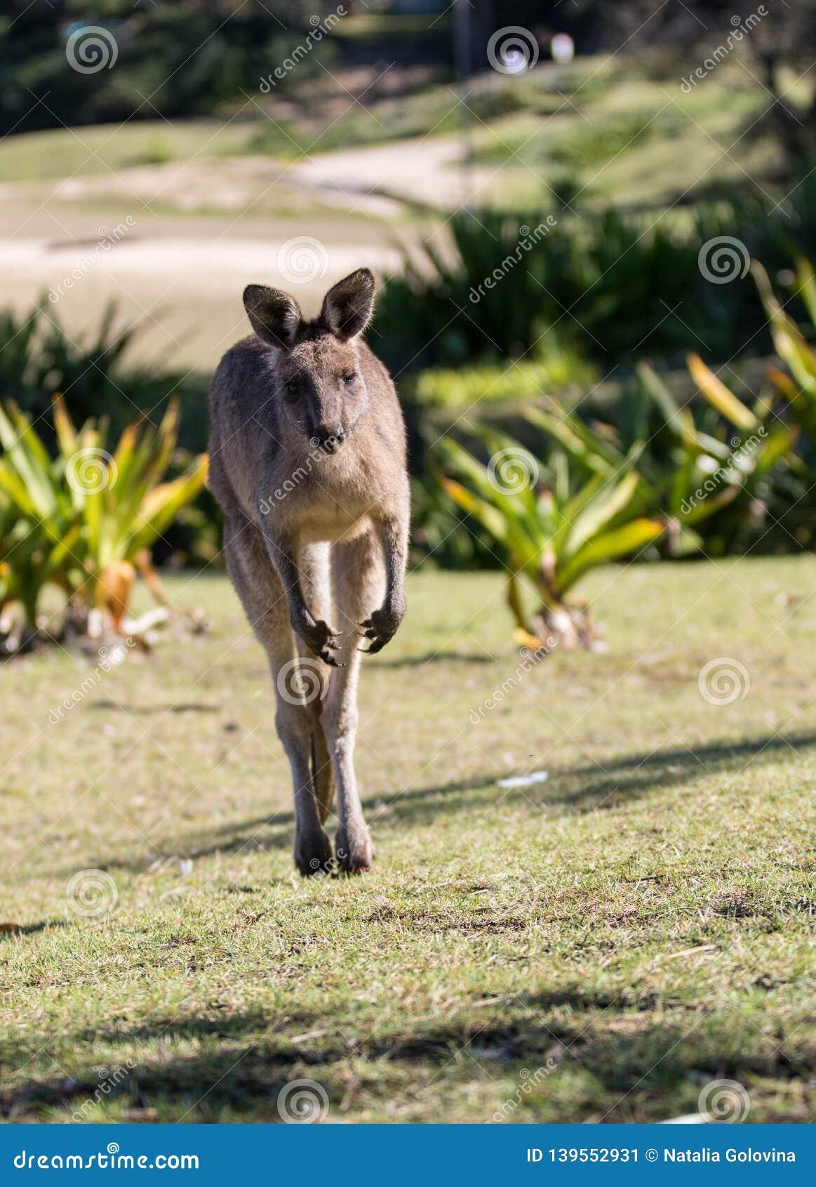 Canguro australiano mientras que salta cerca encima del retrato