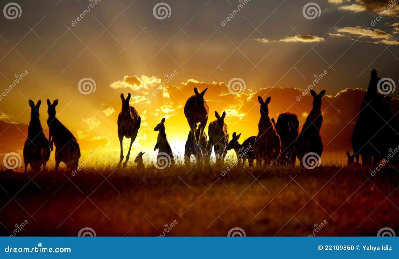 Canguru australiano do interior do por do sol