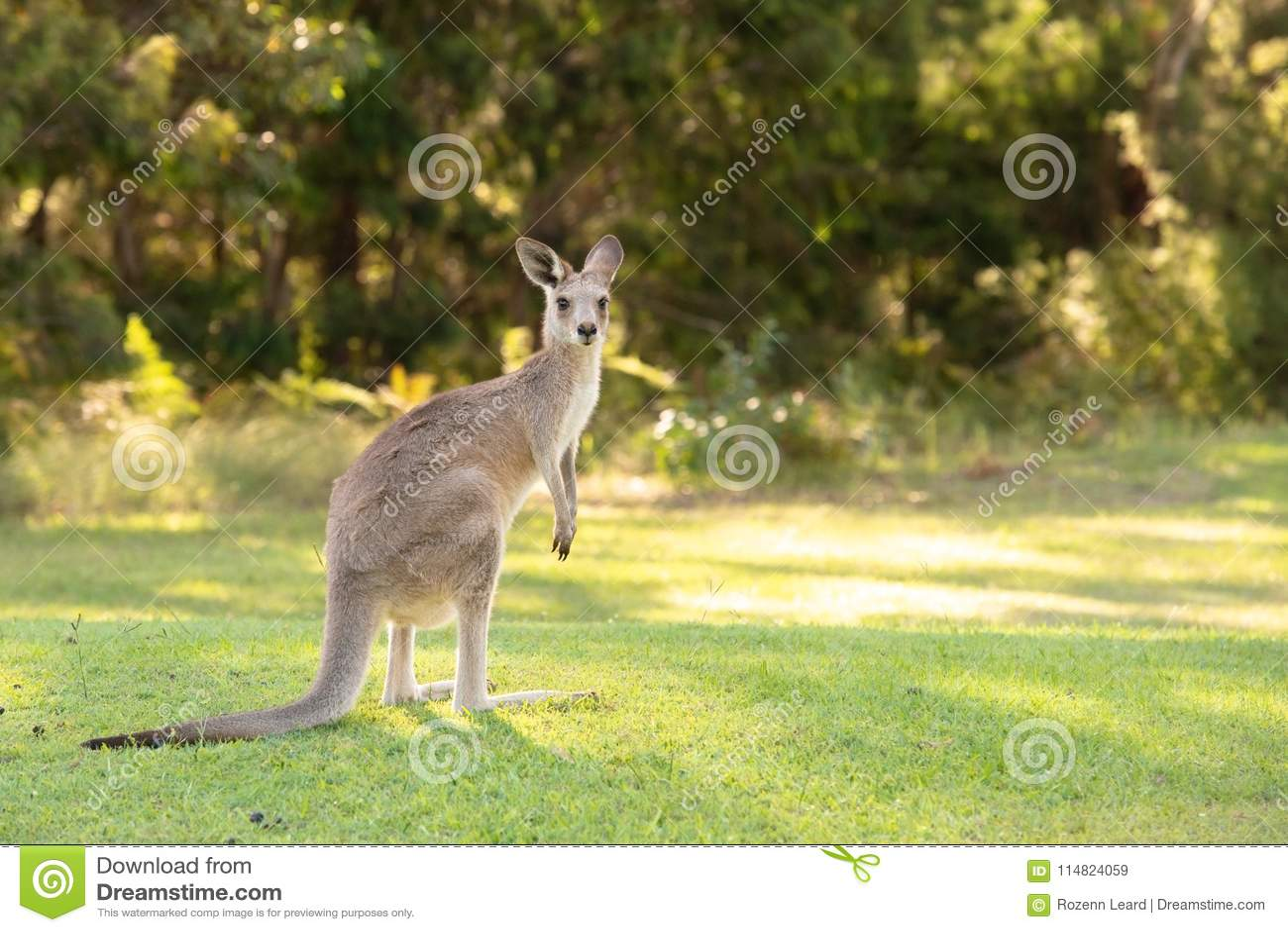 Canguru bonito