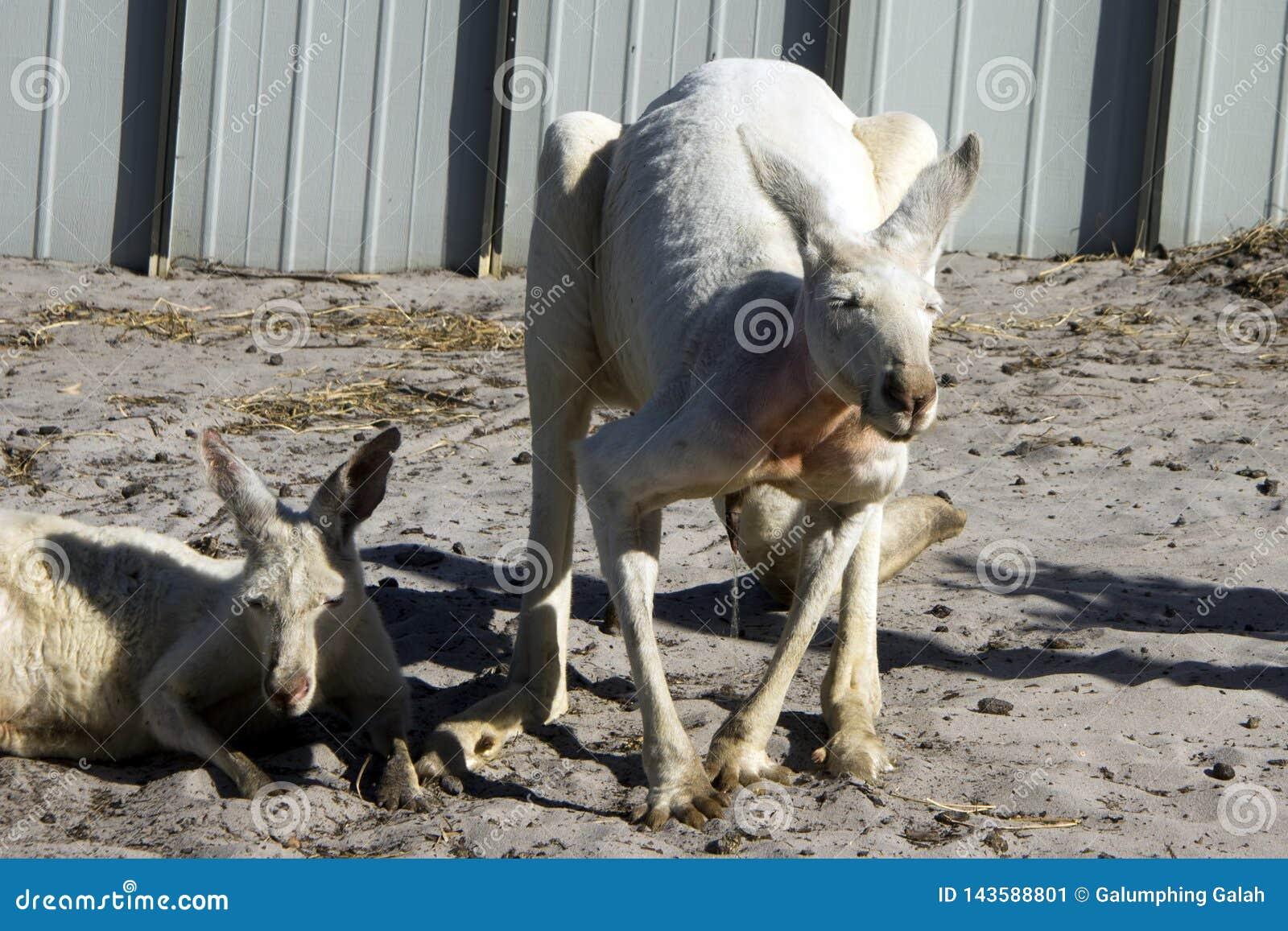 Canguru branco urinando, Albany, WA, Austrália