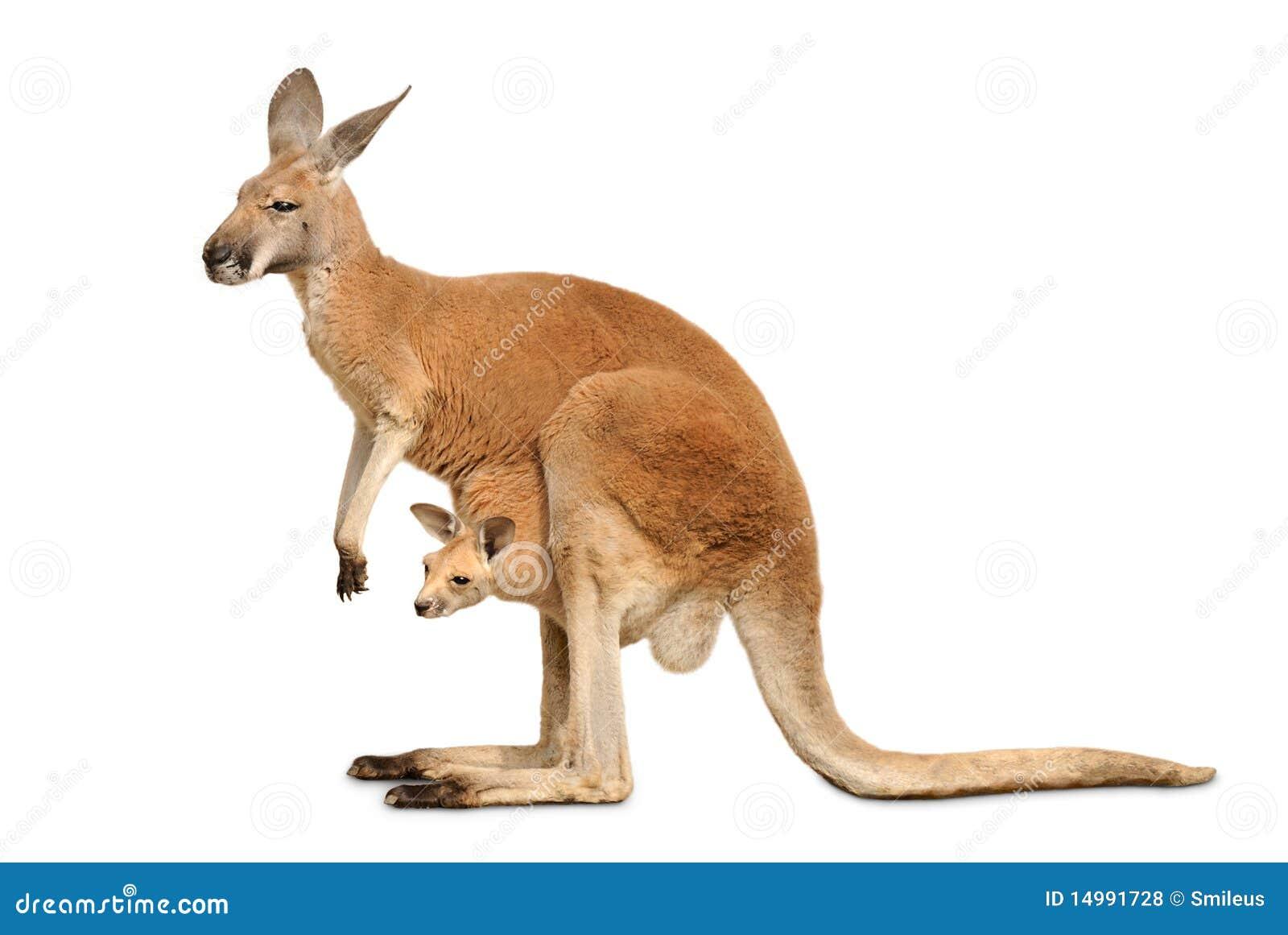 Canguru isolado com Joey bonito
